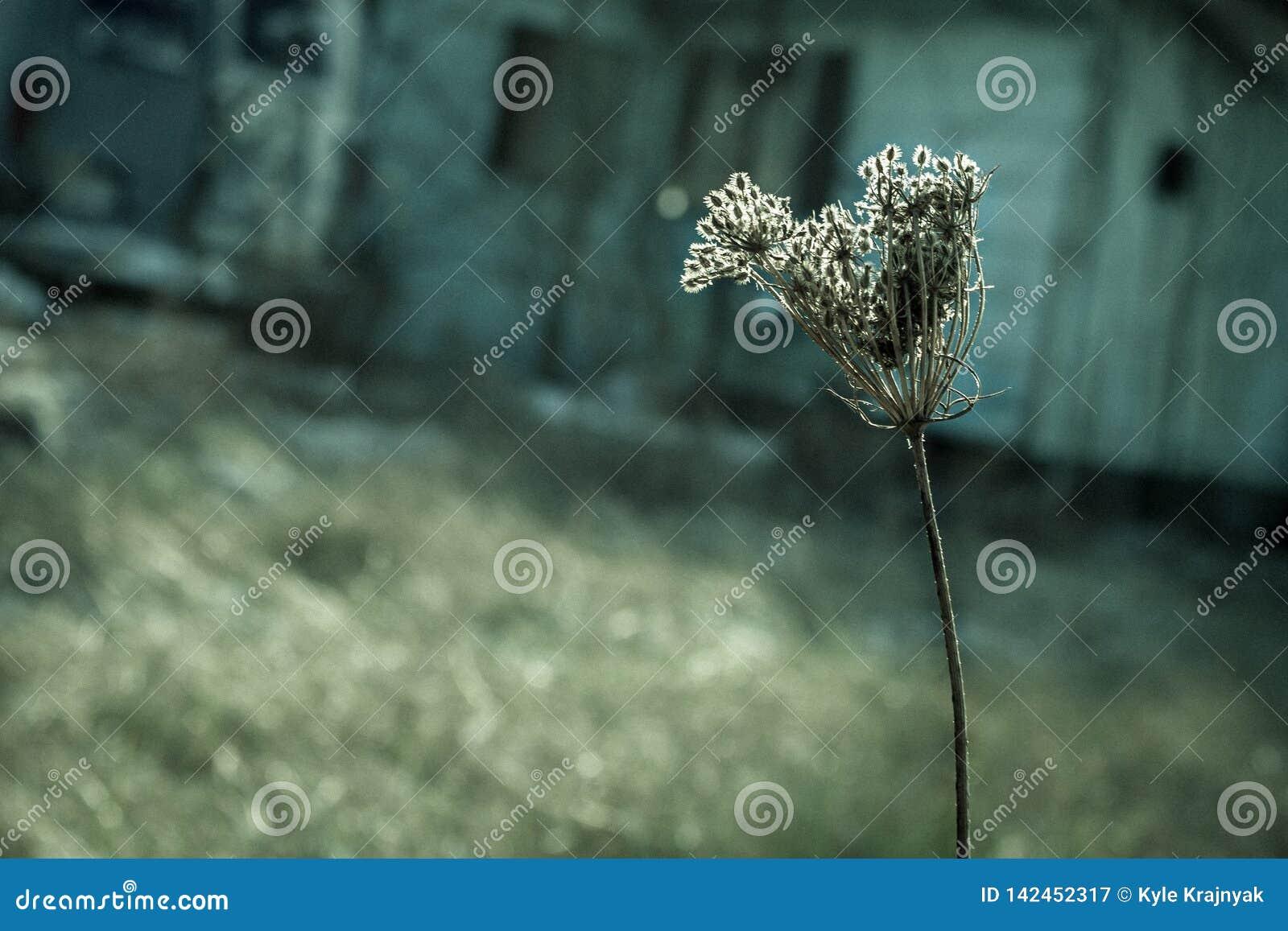 Cabeça de flor secada de uma cenoura selvagem