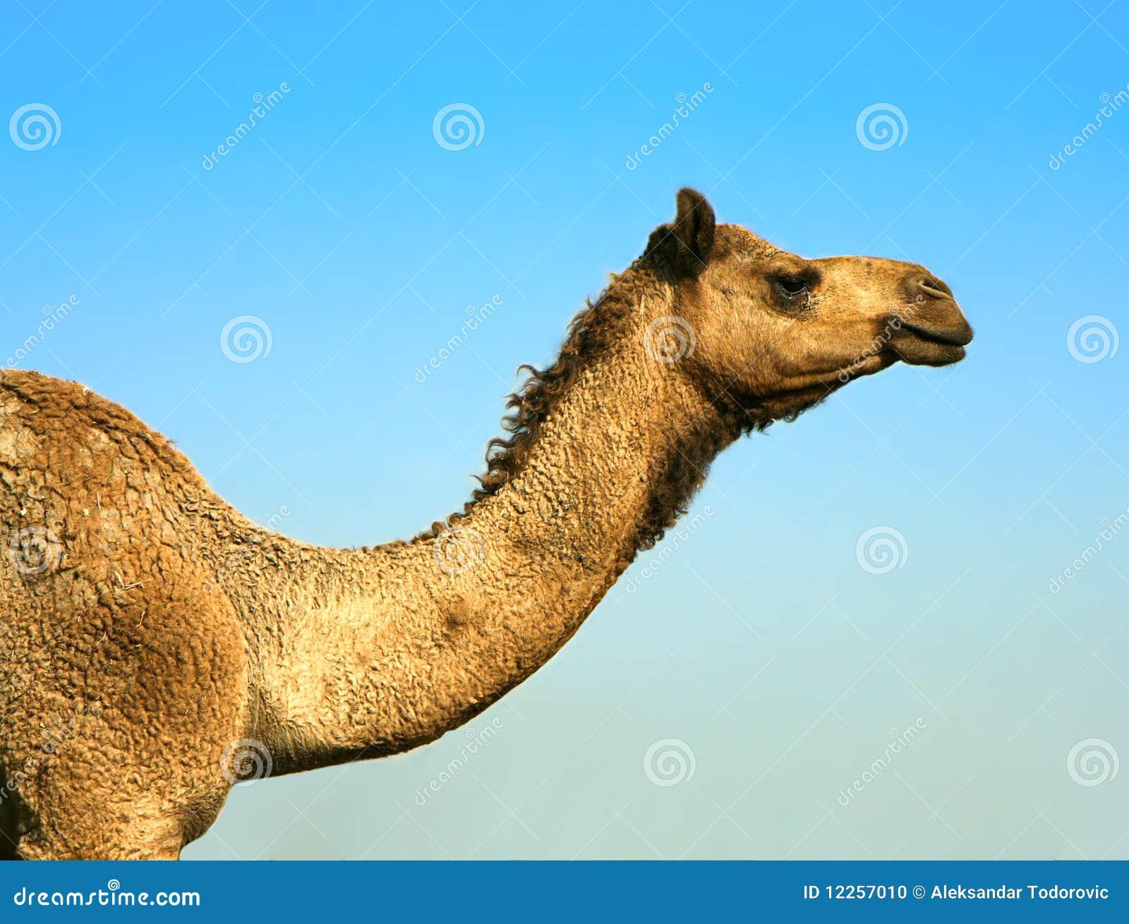 Cabeça de um camelo no safari - deserto