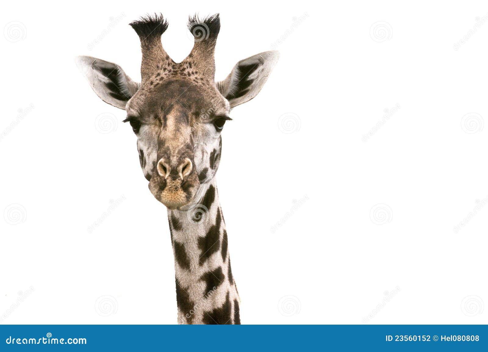 Cabeça de um giraffe