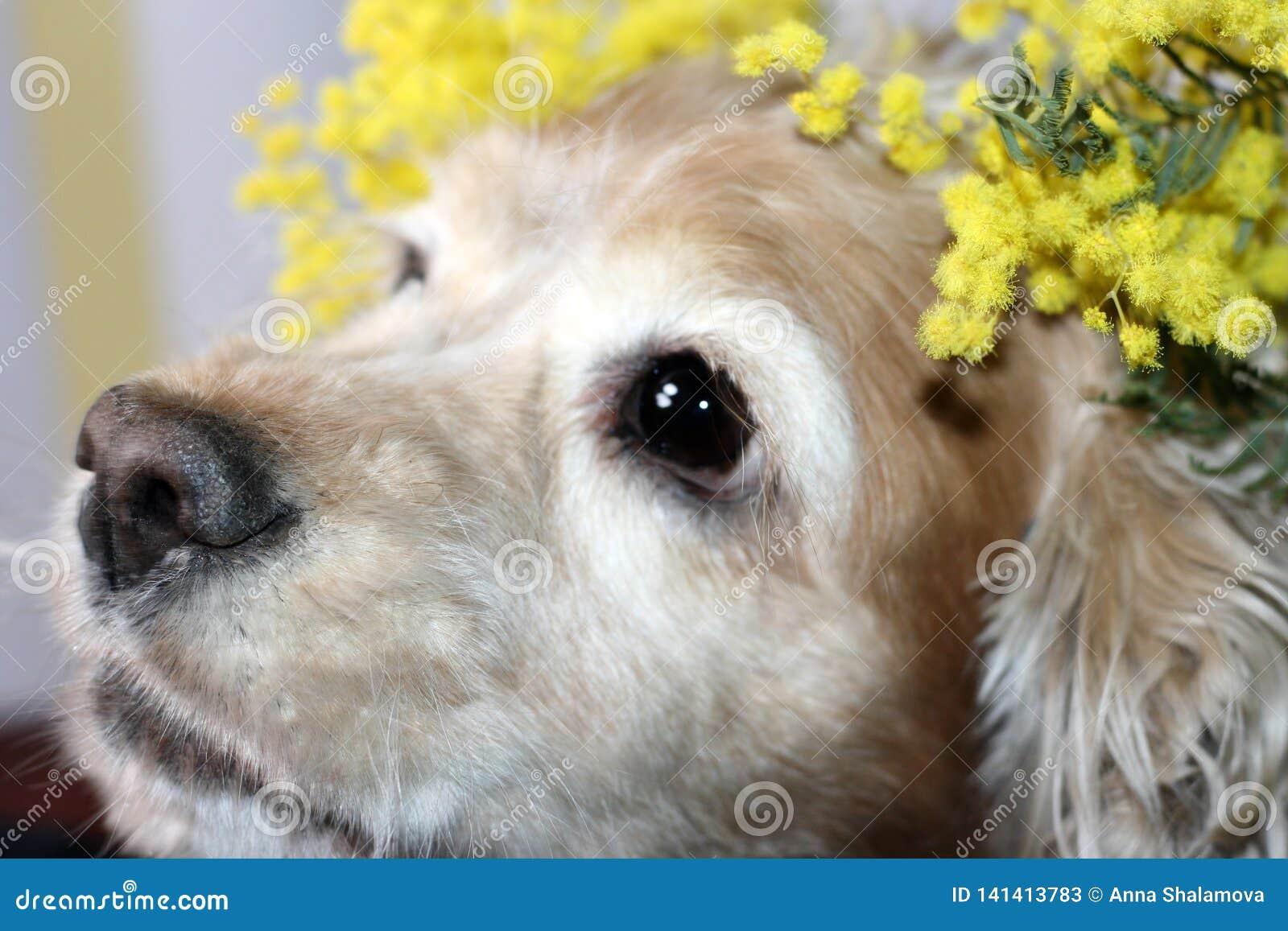 A cabeça de um spaniel americano é jovem corça com um ramo da flor amarela da mimosa da mola