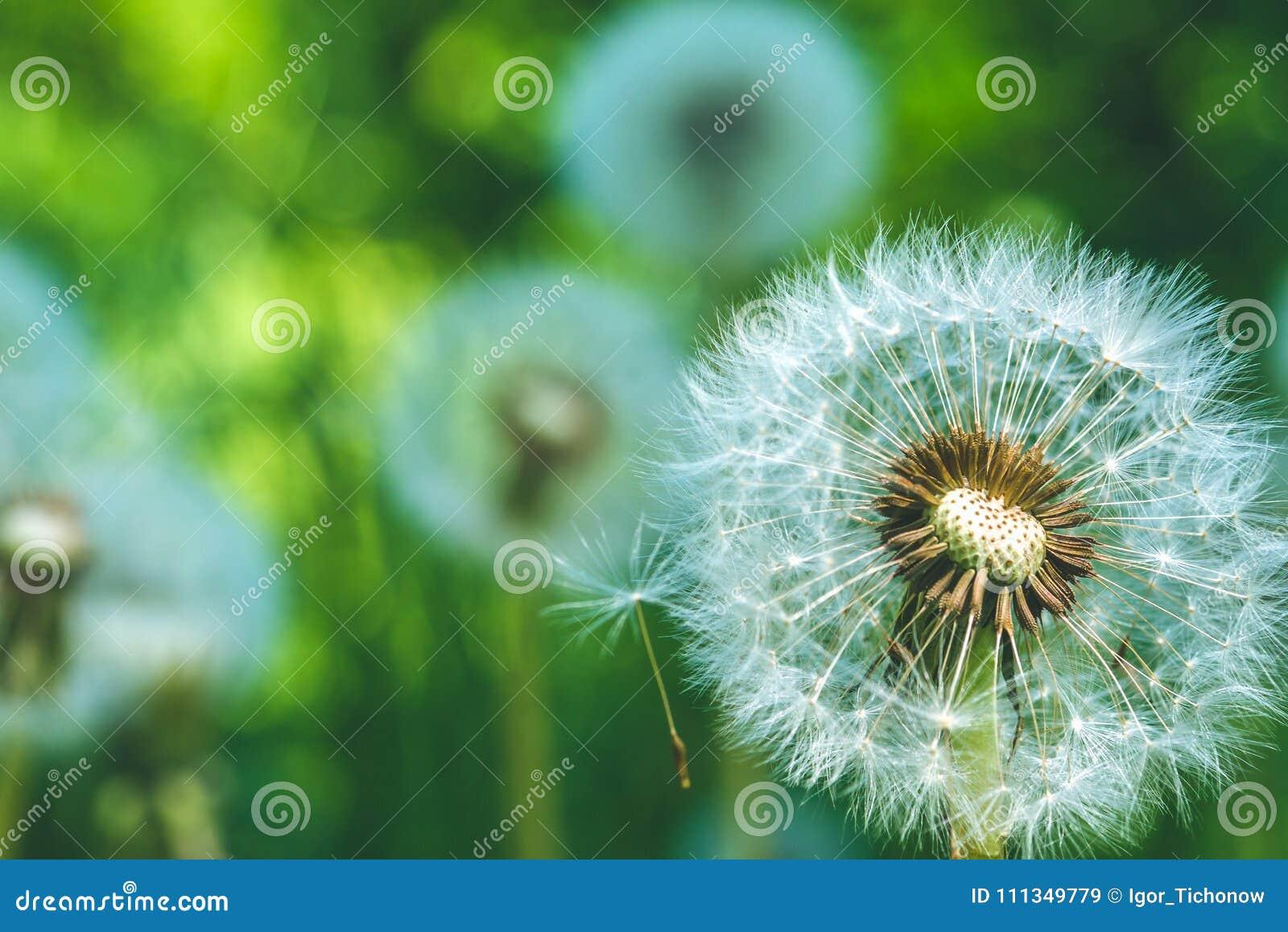 A cabeça do blowball dos dentes-de-leão sob alargamentos do sol está pronta para começar a favor do vento sementes