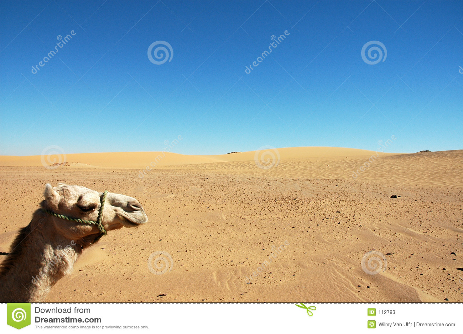 Cabeça do camelo