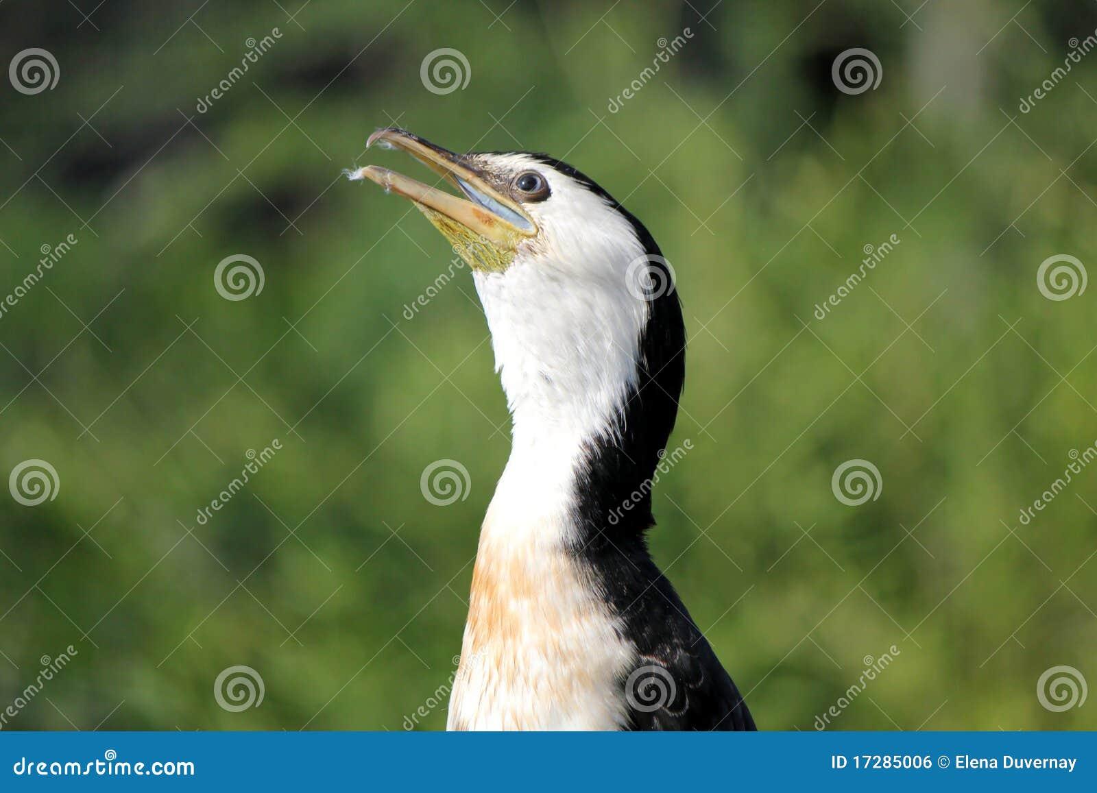 Cabeça do Cormorant
