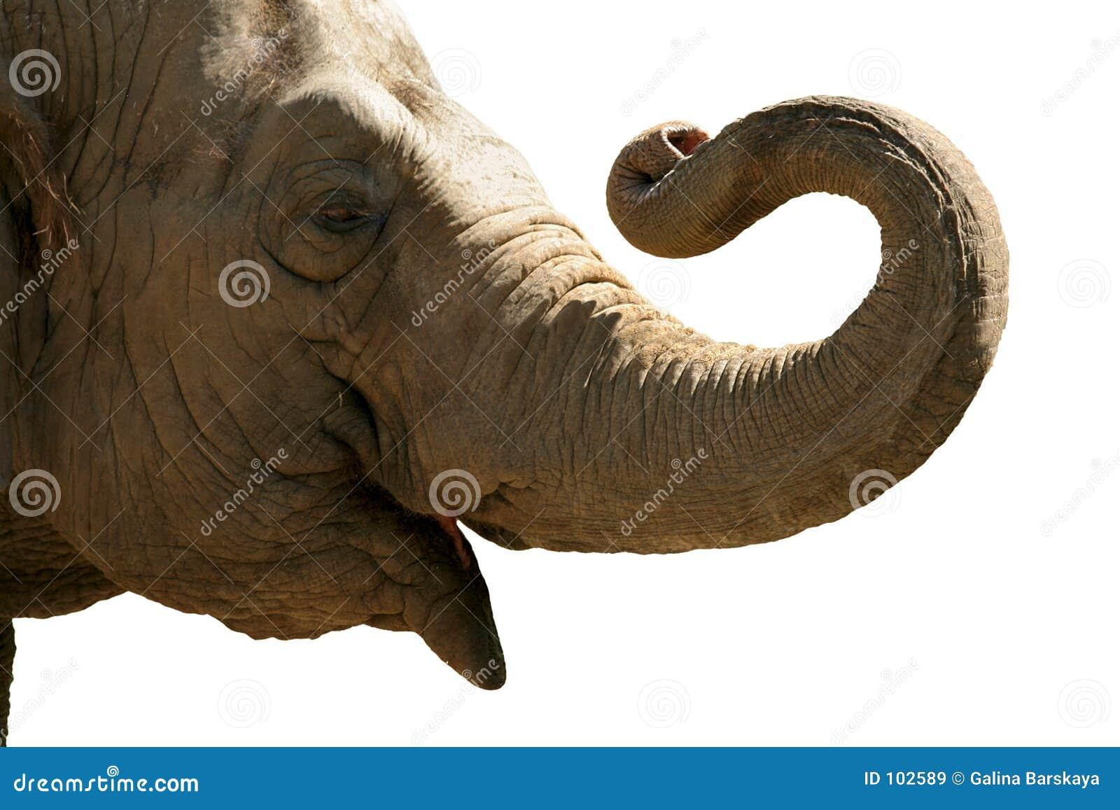 Cabeça do elefante
