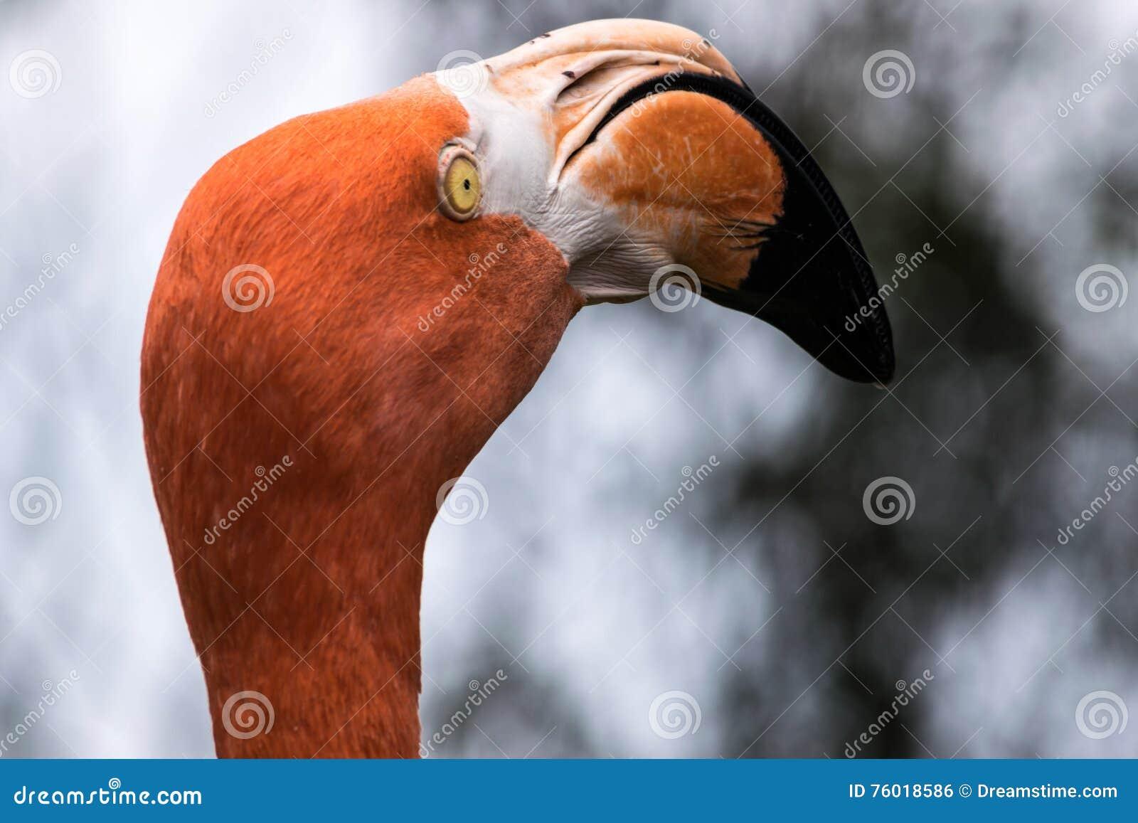 Cabeça do flamingo