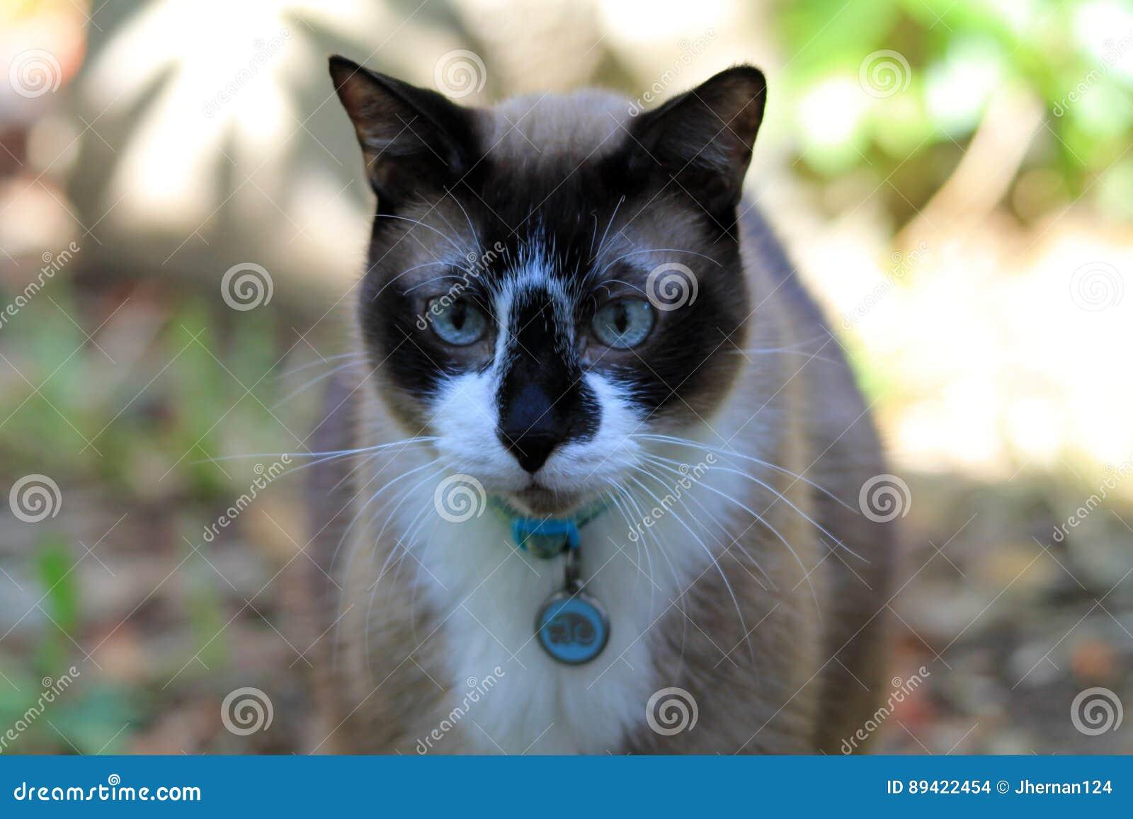 Cabeça do gato Siamese sobre