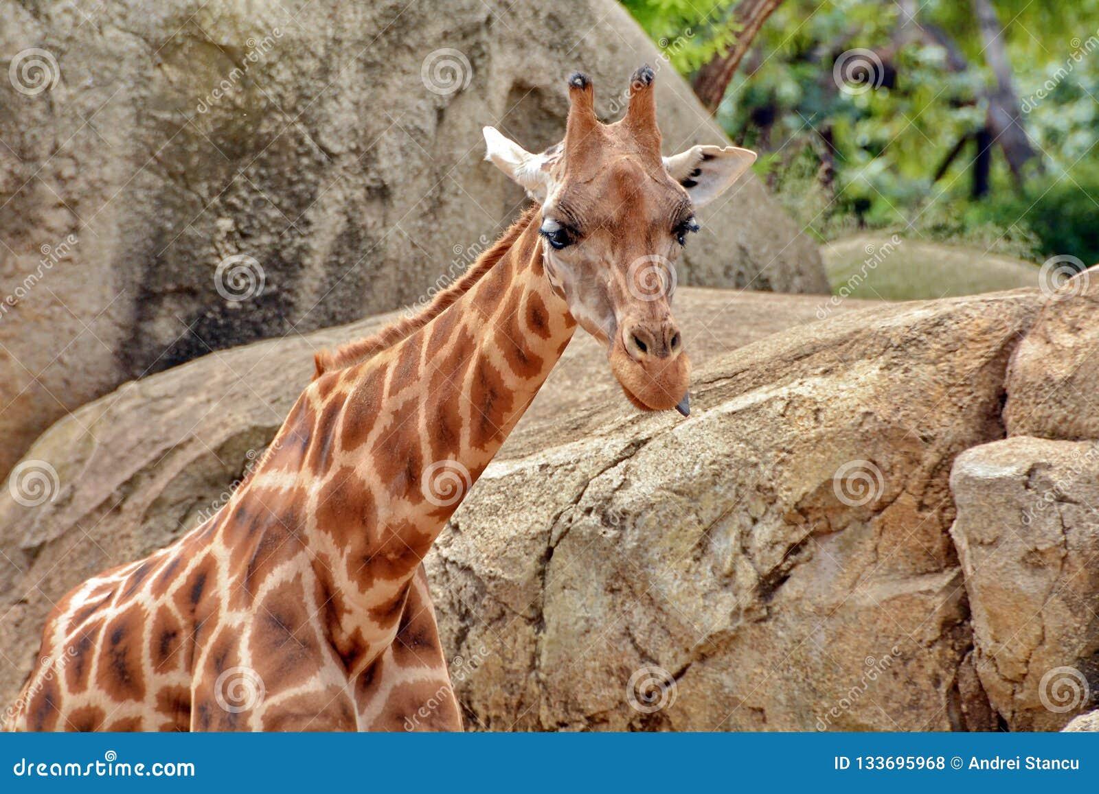 Cabeça do girafa