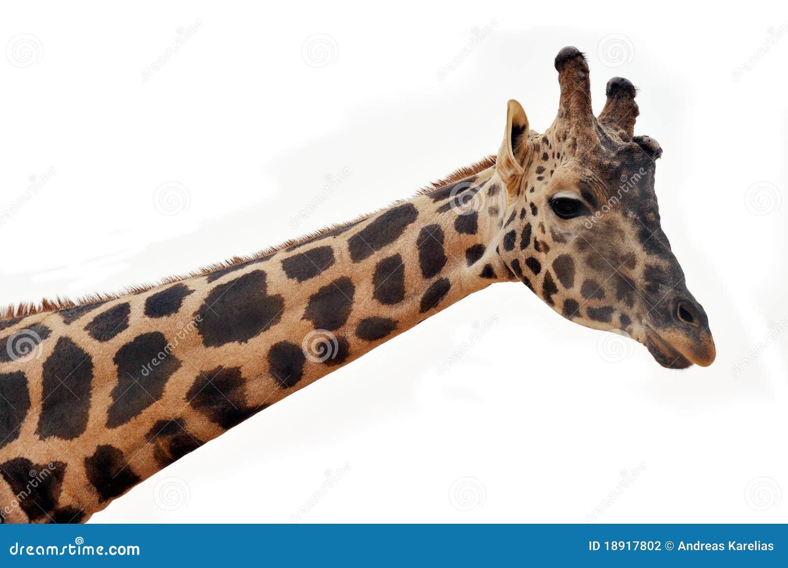 Cabeça do Giraffe