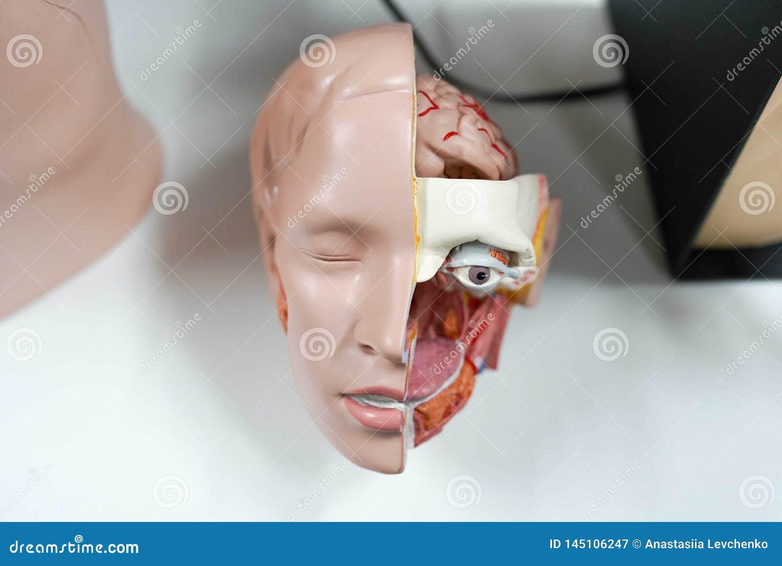 Cabeça modelo da anatomia fundo médico, rosto humano