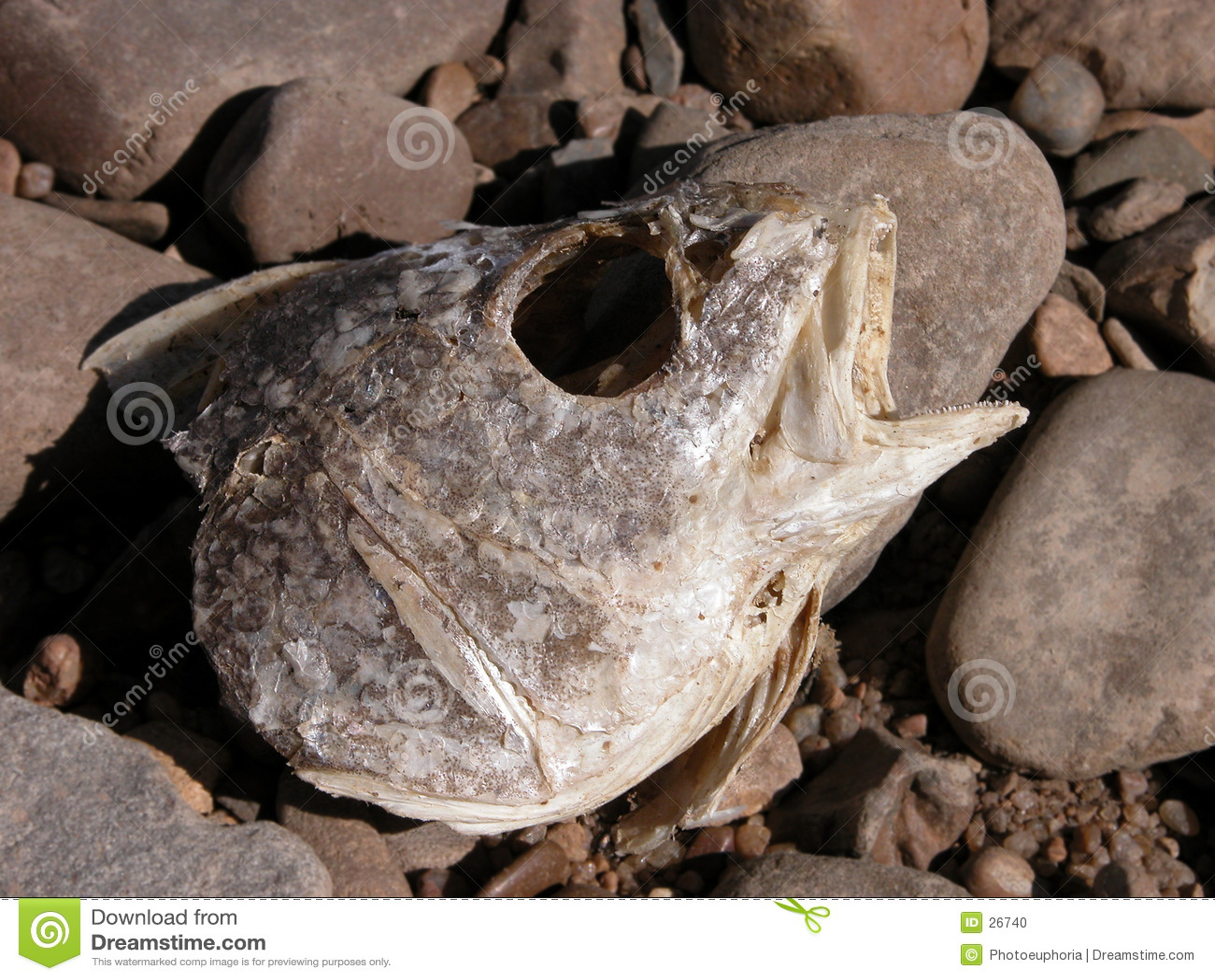Cabeça Rotting dos peixes nas rochas do rio