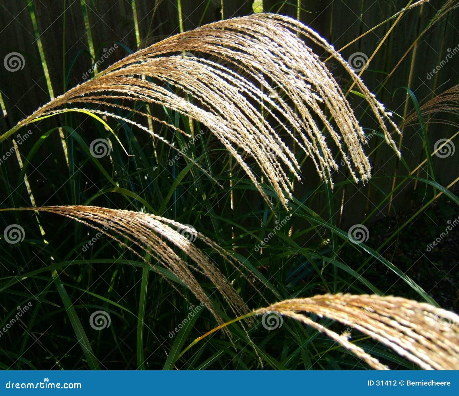 Cabeças altas da semente da grama