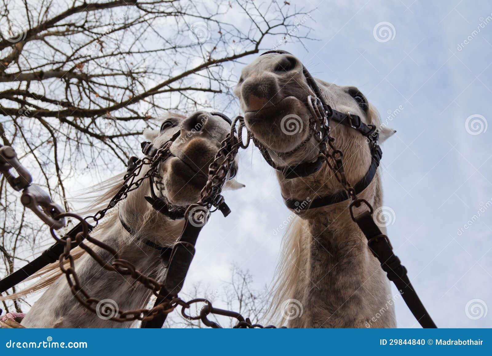 Dois cavalos de transporte