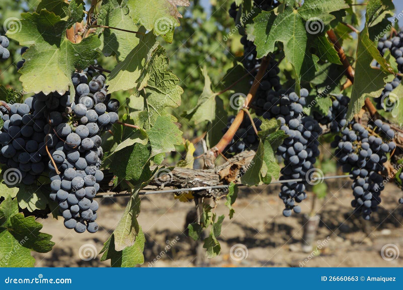 Cabernet, Sauvignon winogrono -