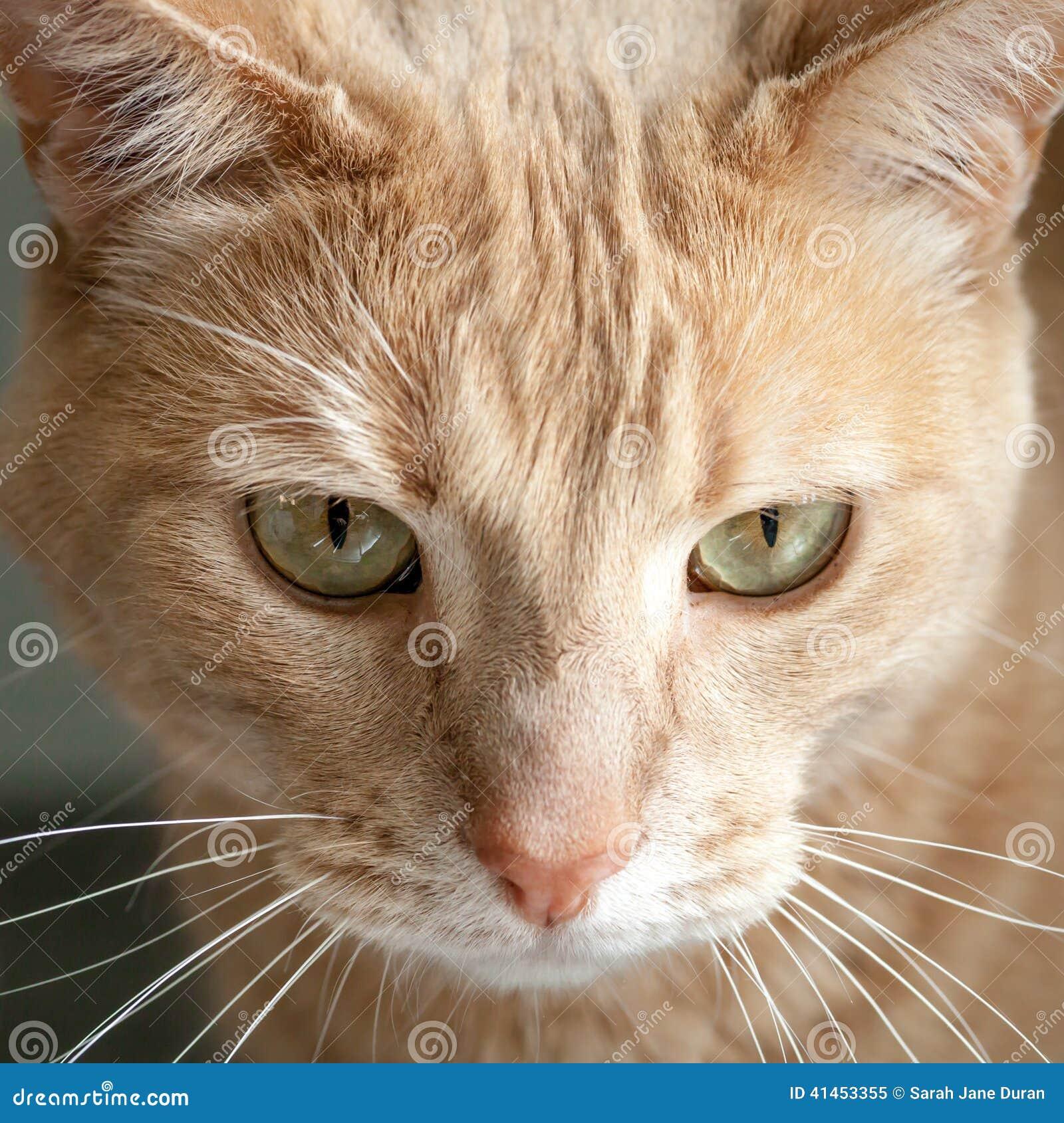 Cabeza De Ginger Tabby Cat Con Los Ojos Amarillos Verdes