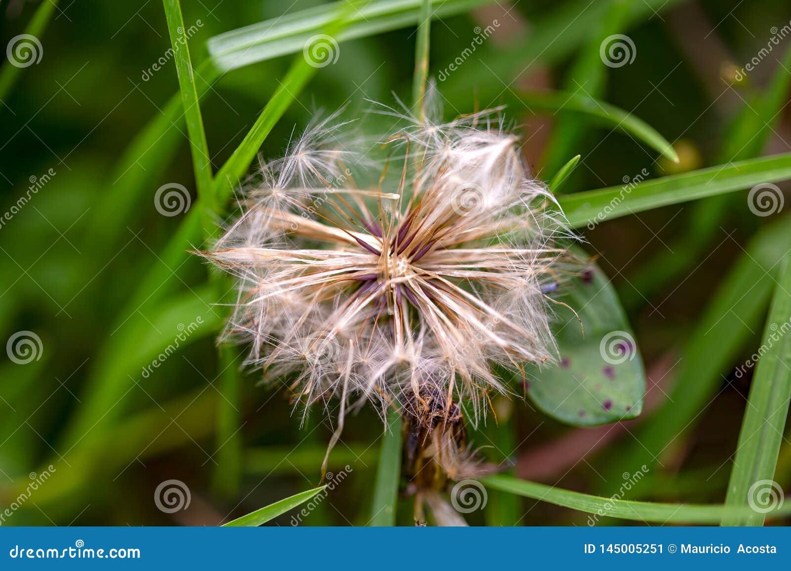 Cabeza de la semilla del diente de le?n entre la hierba