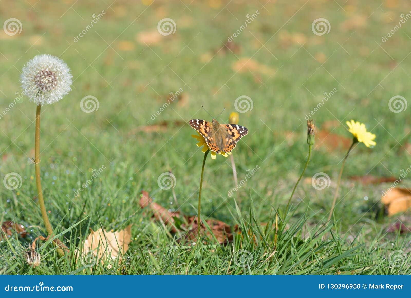 Cabeza de la semilla del diente de león y mariposa pintada de la señora en un prado