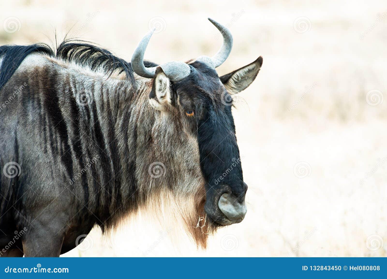 Cabeza del ñu, primer del ñu en la sabana de Serengeti, Tanzania