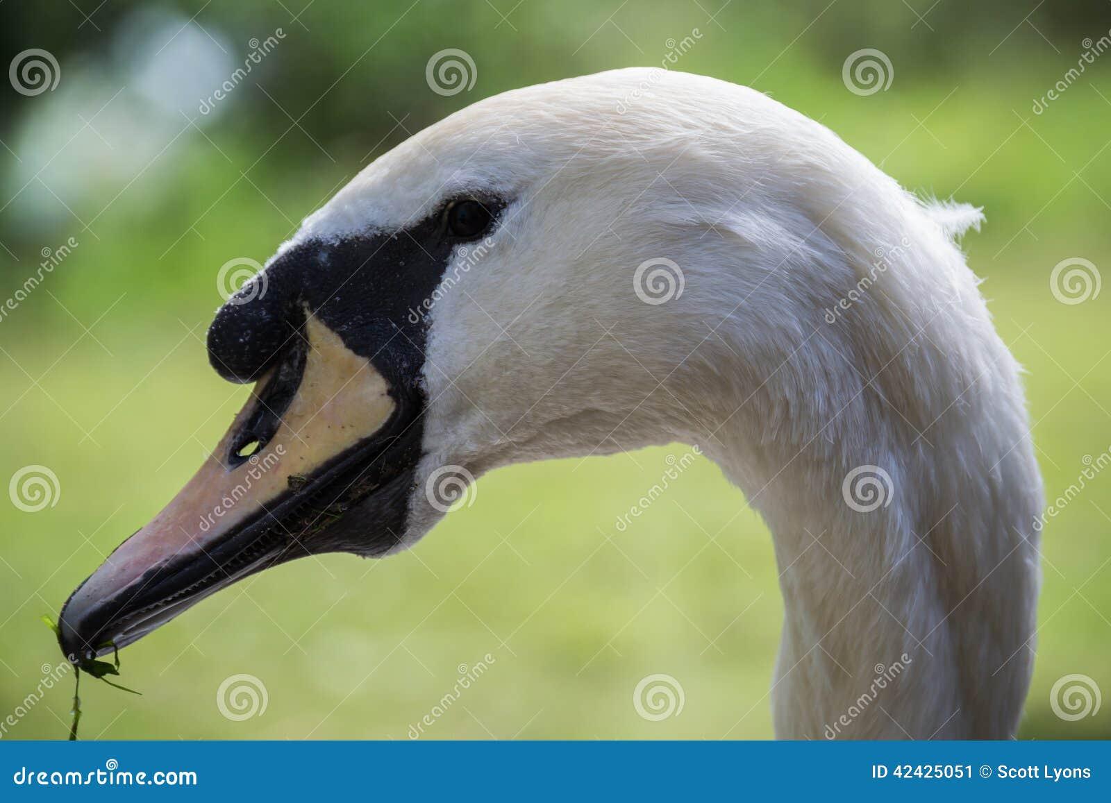 Cabeza del cisne