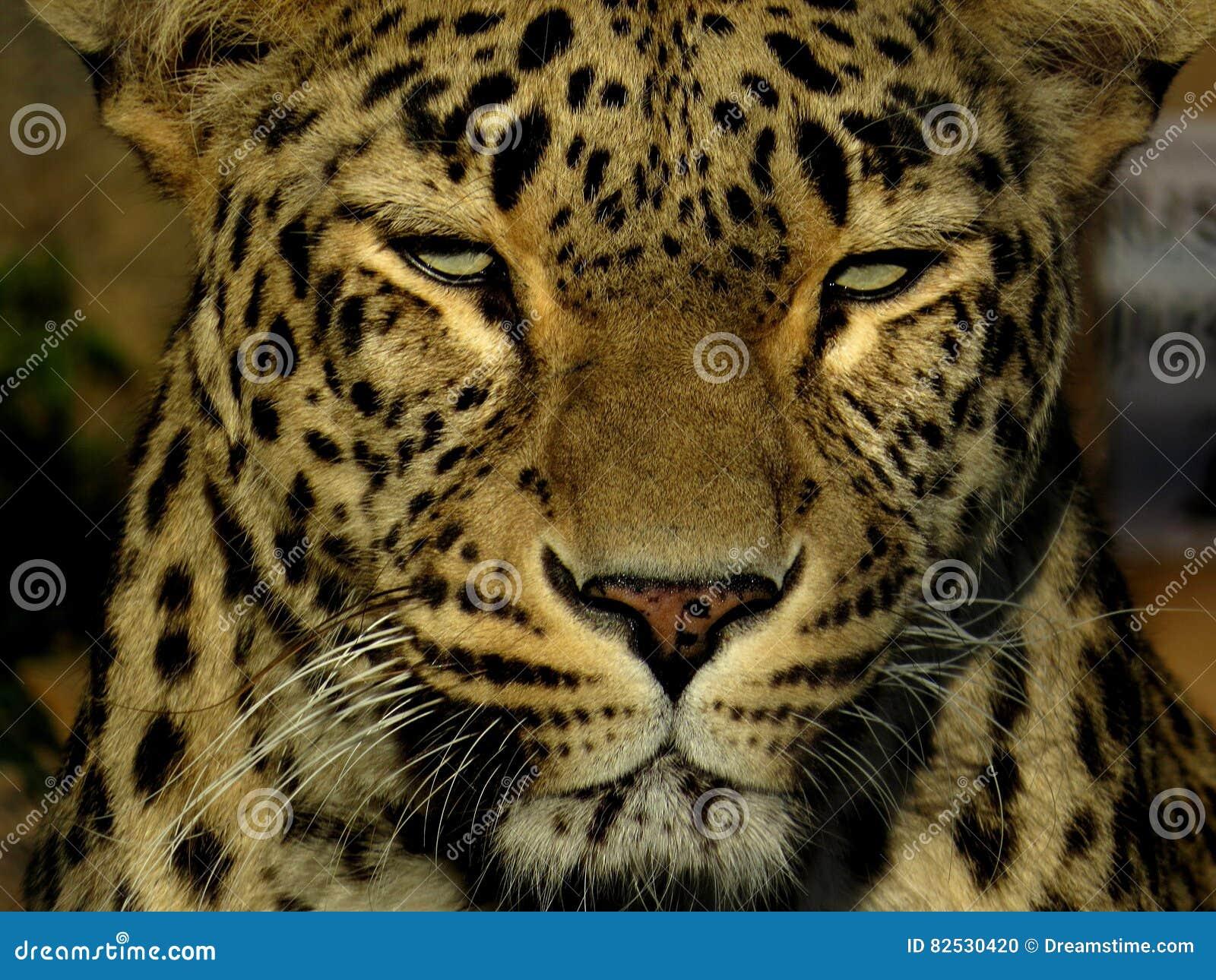Cabeza del leopardo