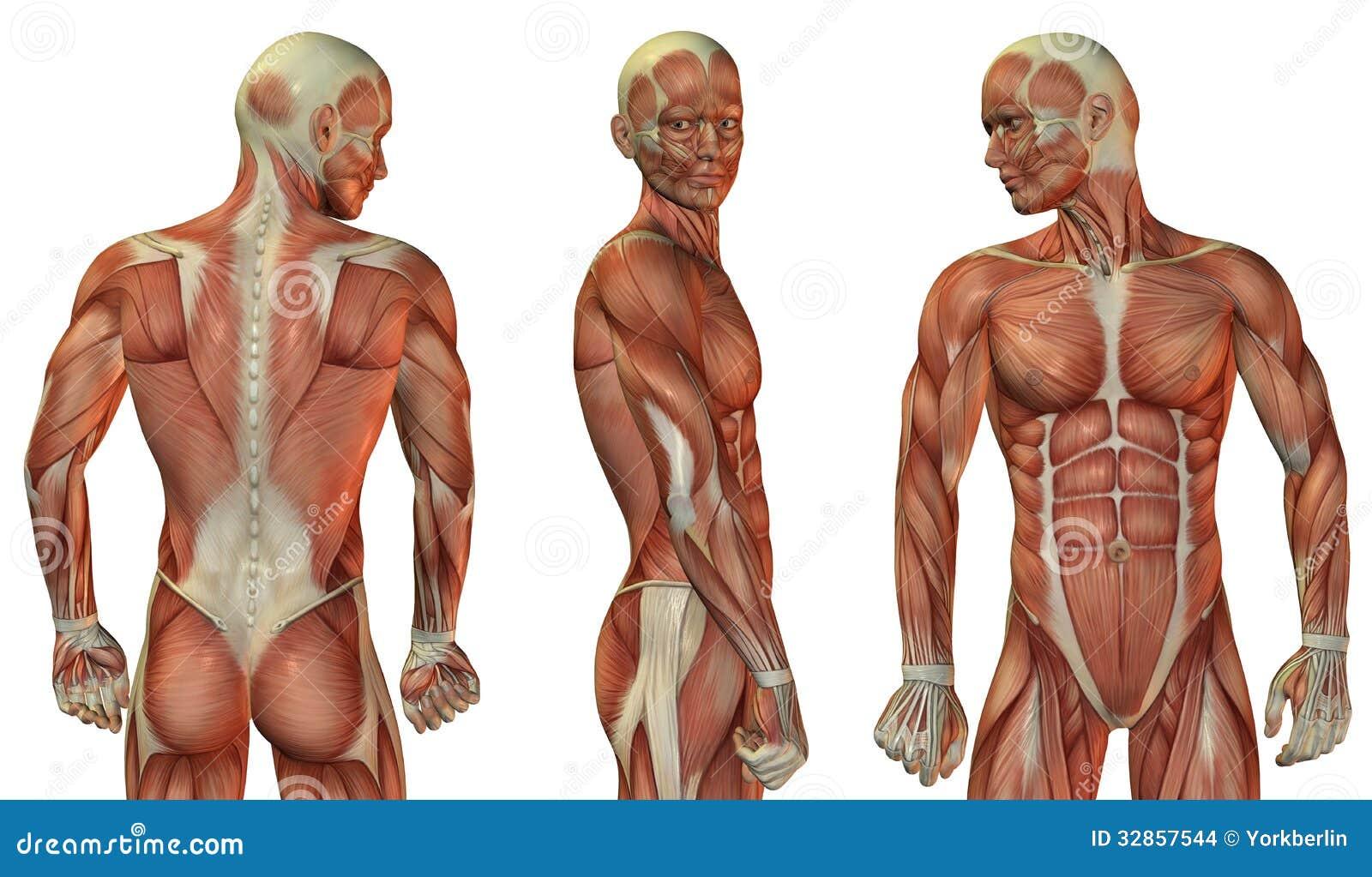 Cabeza Del Músculo Y Cuerpo Superior Stock de ilustración ...