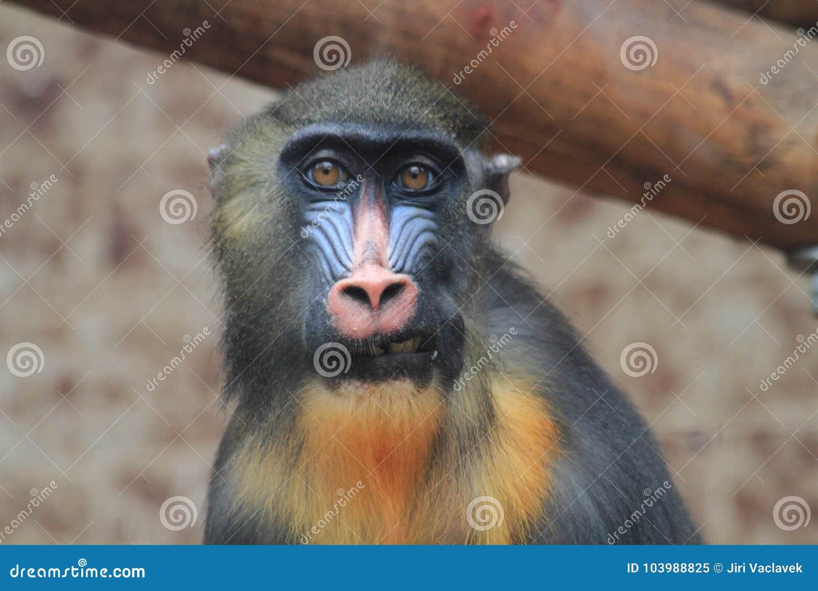 Cabeza del mono del babuino