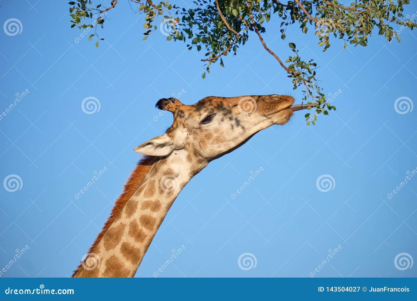 Cabeza del perfil de la jirafa