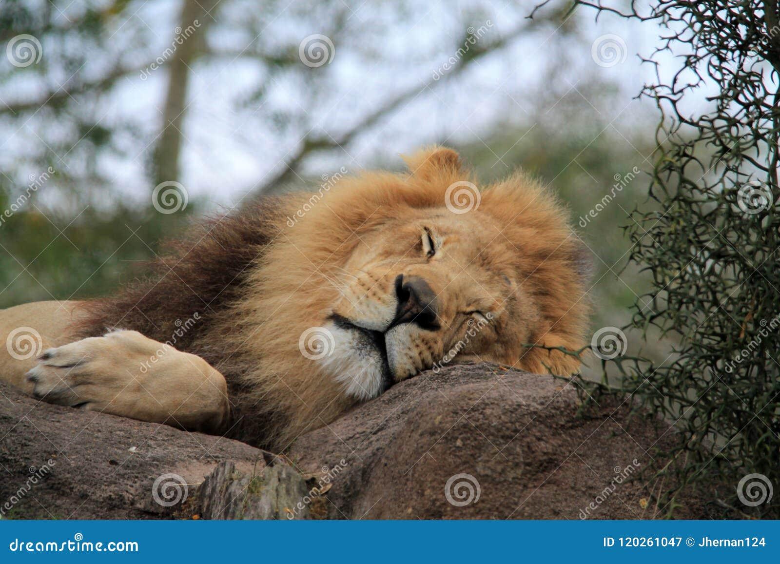 Cabeza dormida del león en roca en retrato del primer