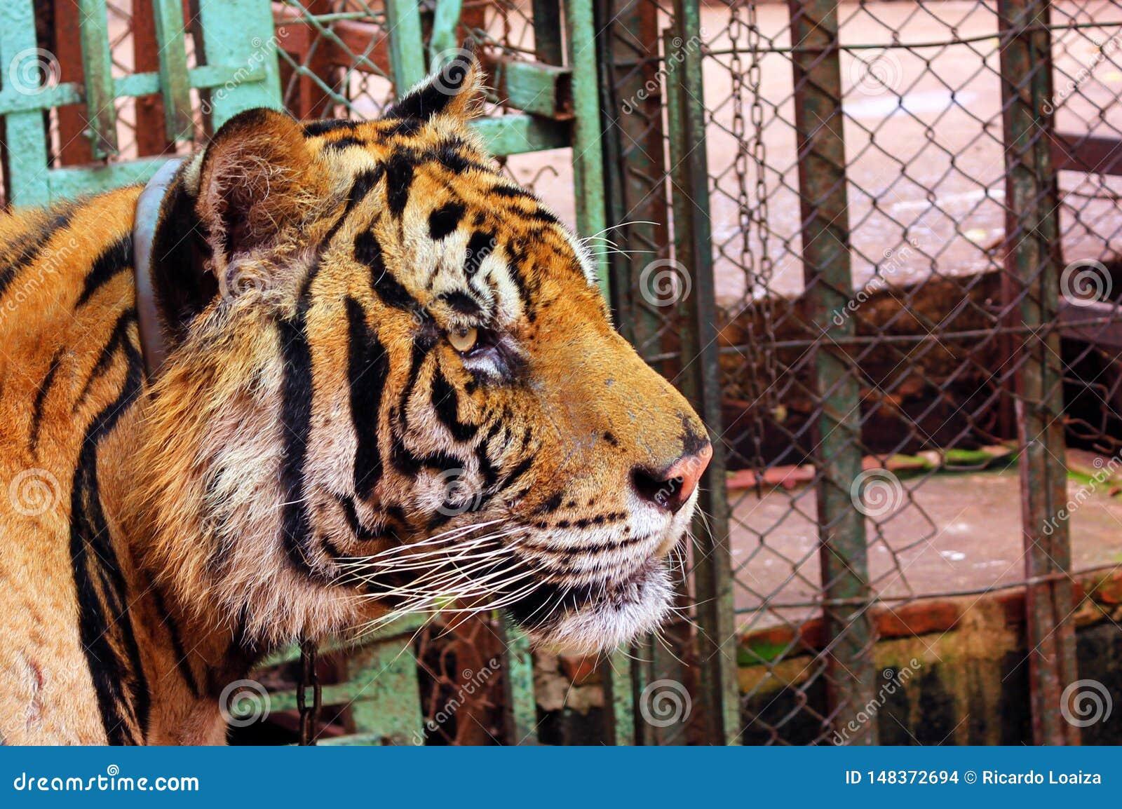 Cabeza grande del tigre en cautiverio