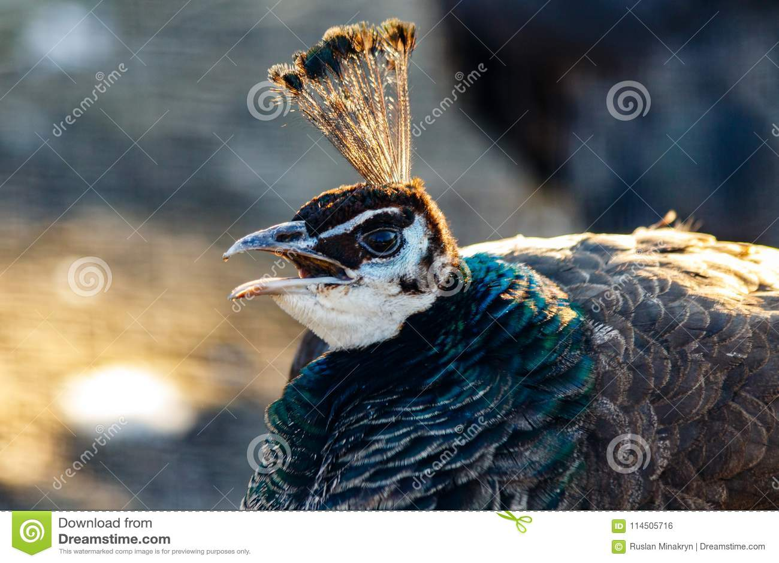 Cabeza hermosa del pavo real con un penacho