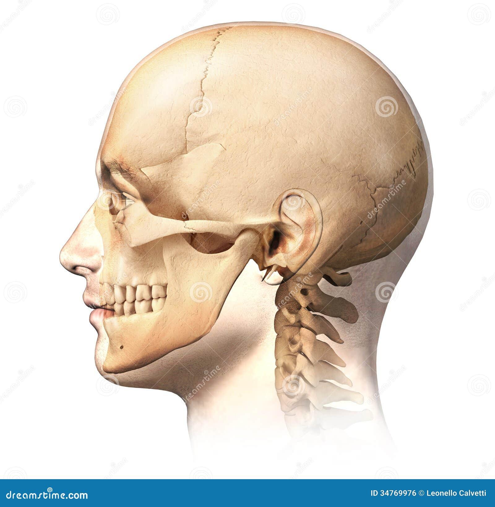 Cabeza Humana Masculina Con El Cráneo En El Efecto Del Fantasma ...