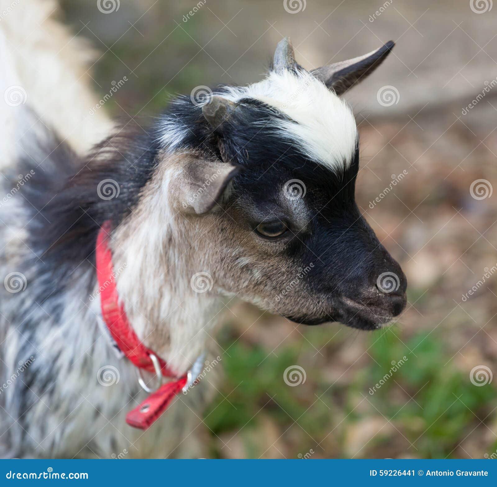Download Cabeza Tibetana De La Cabra Imagen de archivo - Imagen de tibetano, animal: 59226441