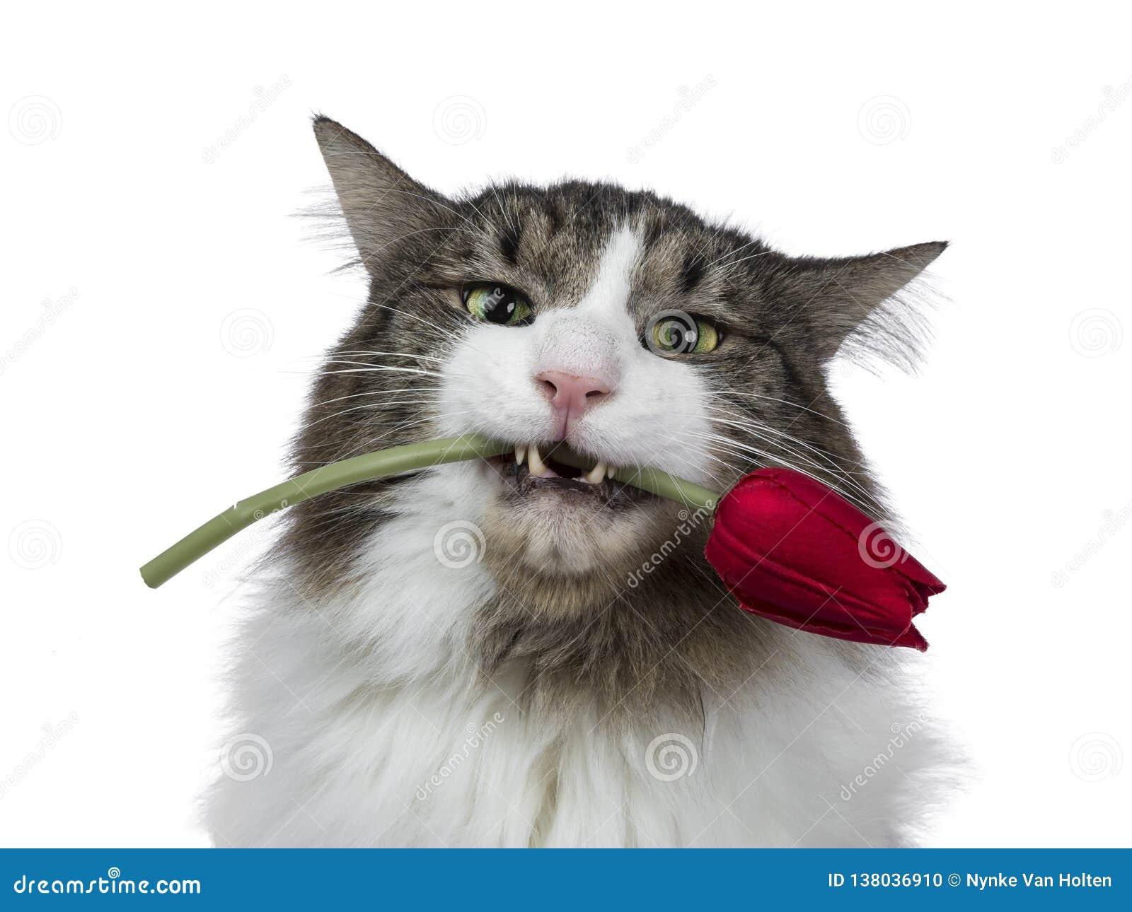 Cabeza tirada de Forest Cat noruego adulto divertido y hermoso, aislado en un fondo blanco