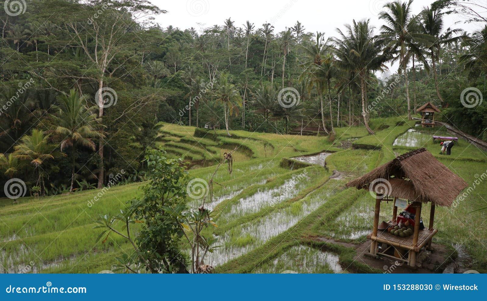 Cabine de madeira em um campo de grama com as árvores altas no fundo situado em Bali
