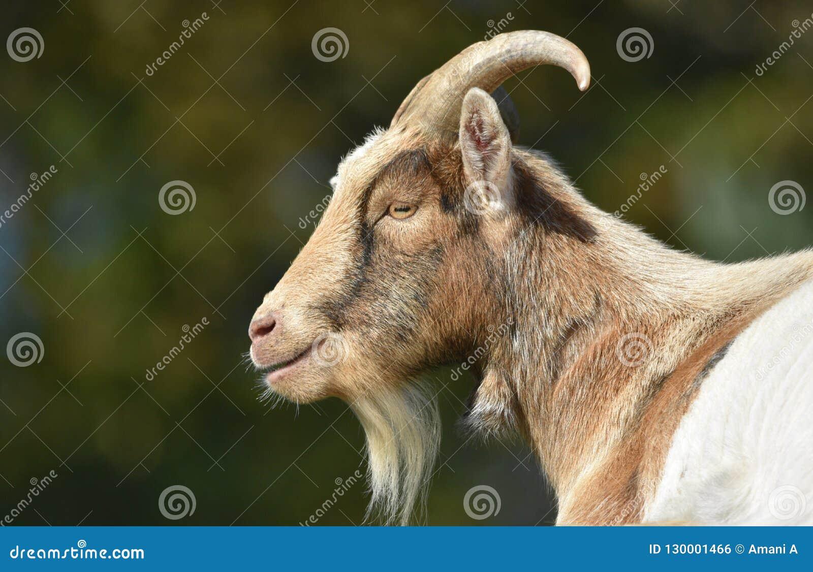 Cabra Billy Goat
