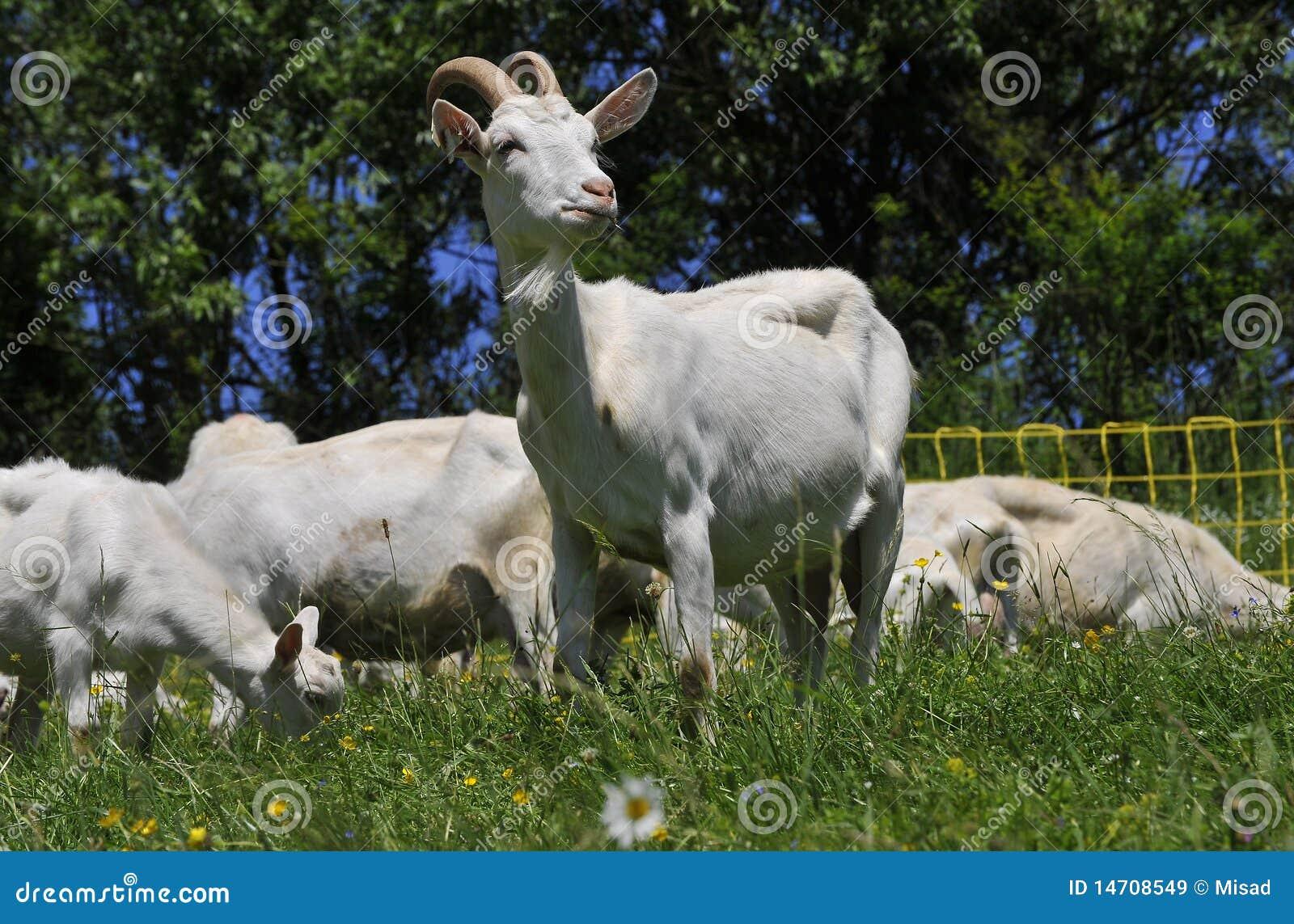 Cabra blanca