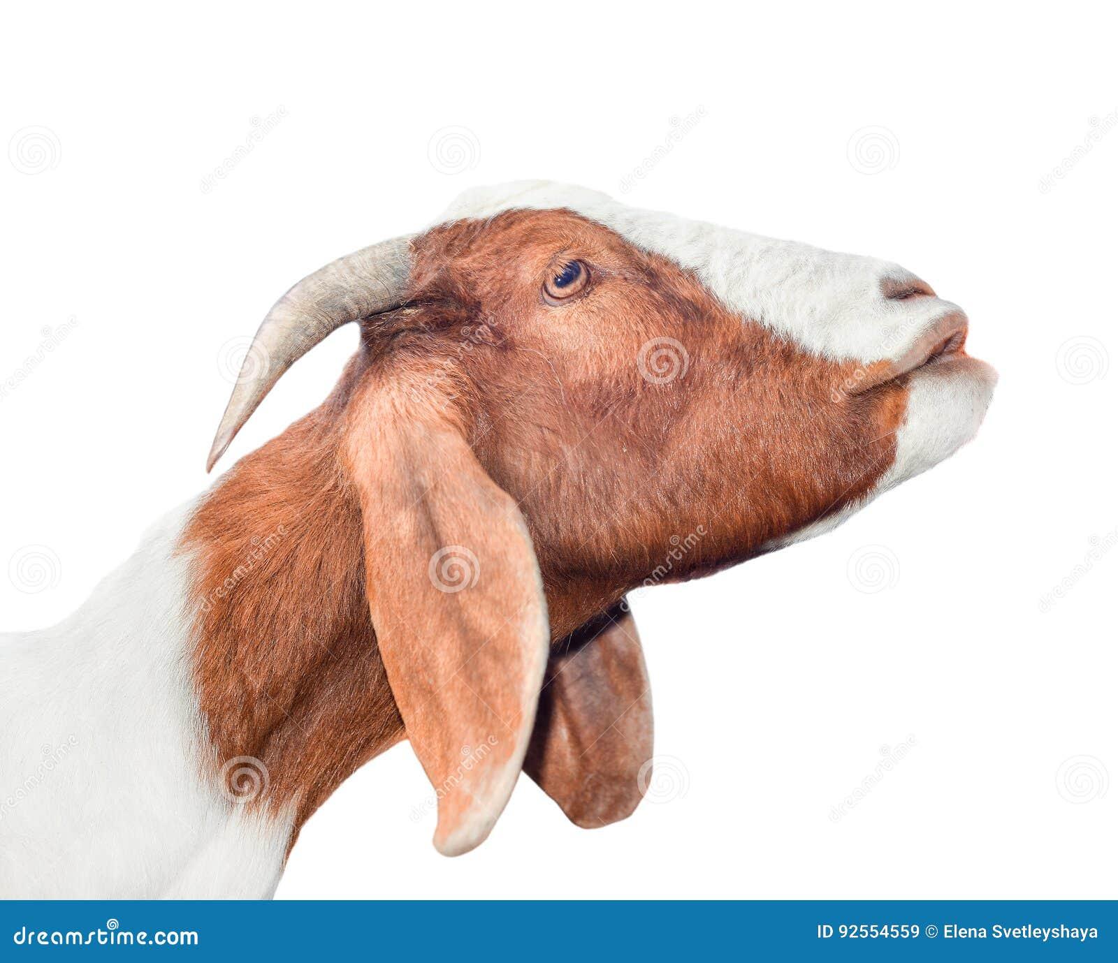 Cabra blanca y roja hermosa, linda, joven aislada en el fondo blanco Animales del campo Intento divertido de la cabra para besar