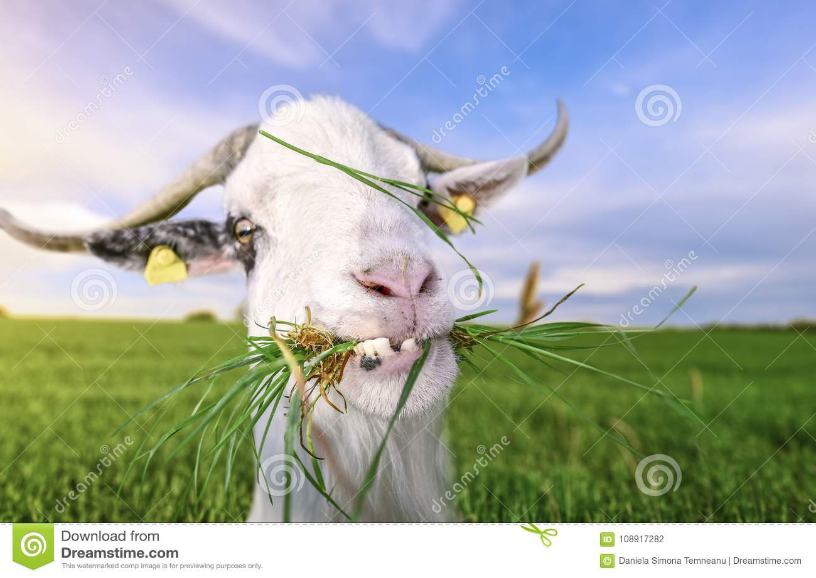 Cabra con los dientes y la hierba divertidos en boca