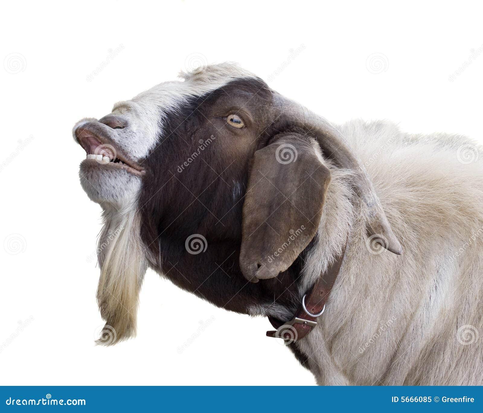 Cabra de Billy