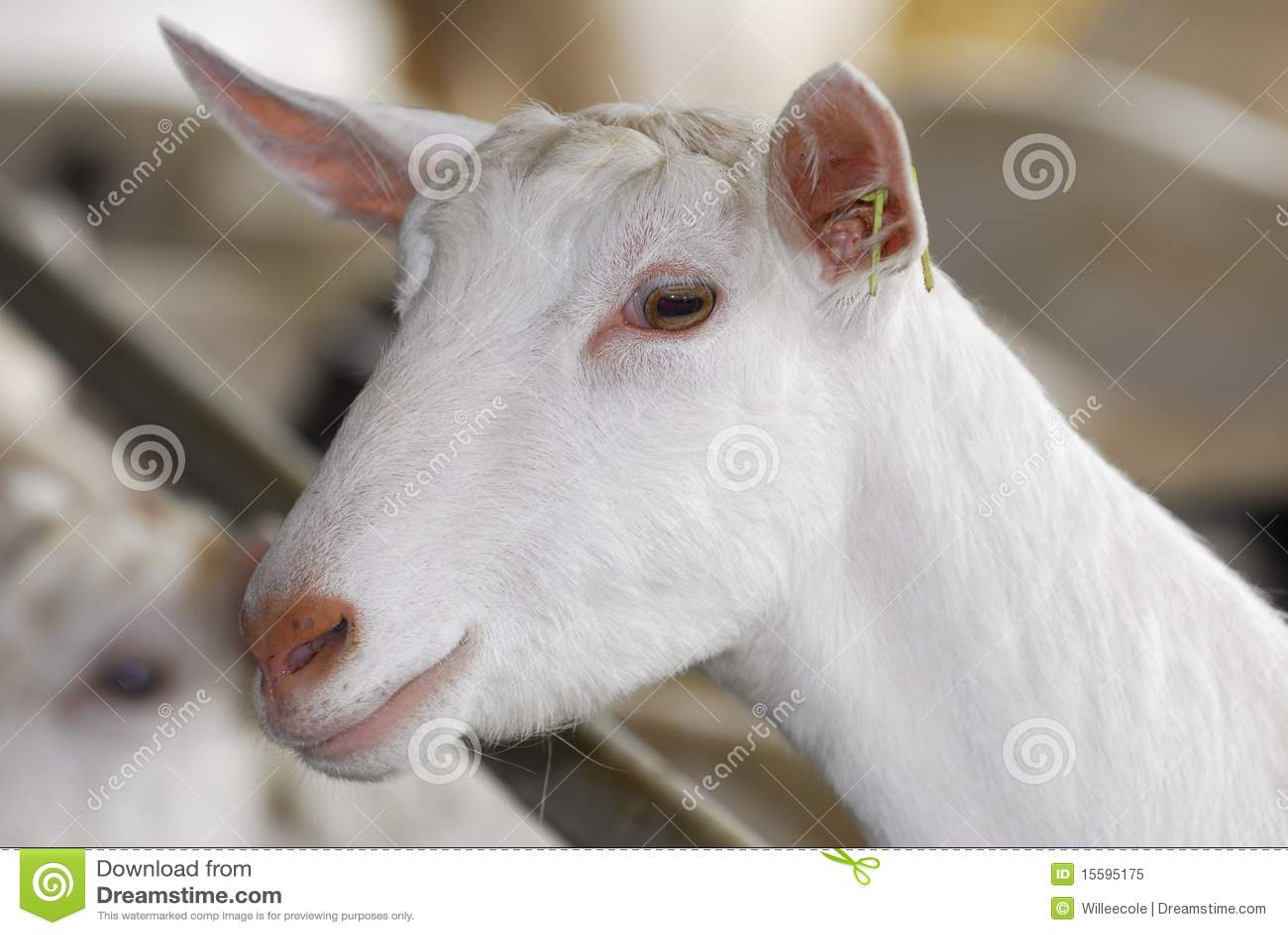 Cabra de la lechería
