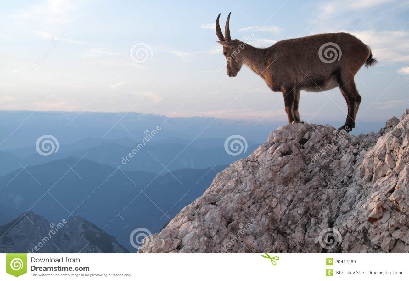 Cabra de montaña - cabra montés alpestre