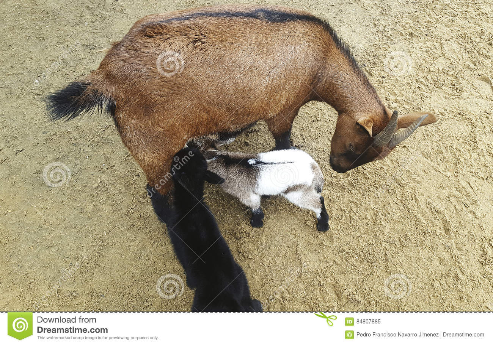 Cabra de montaña con sus bebés
