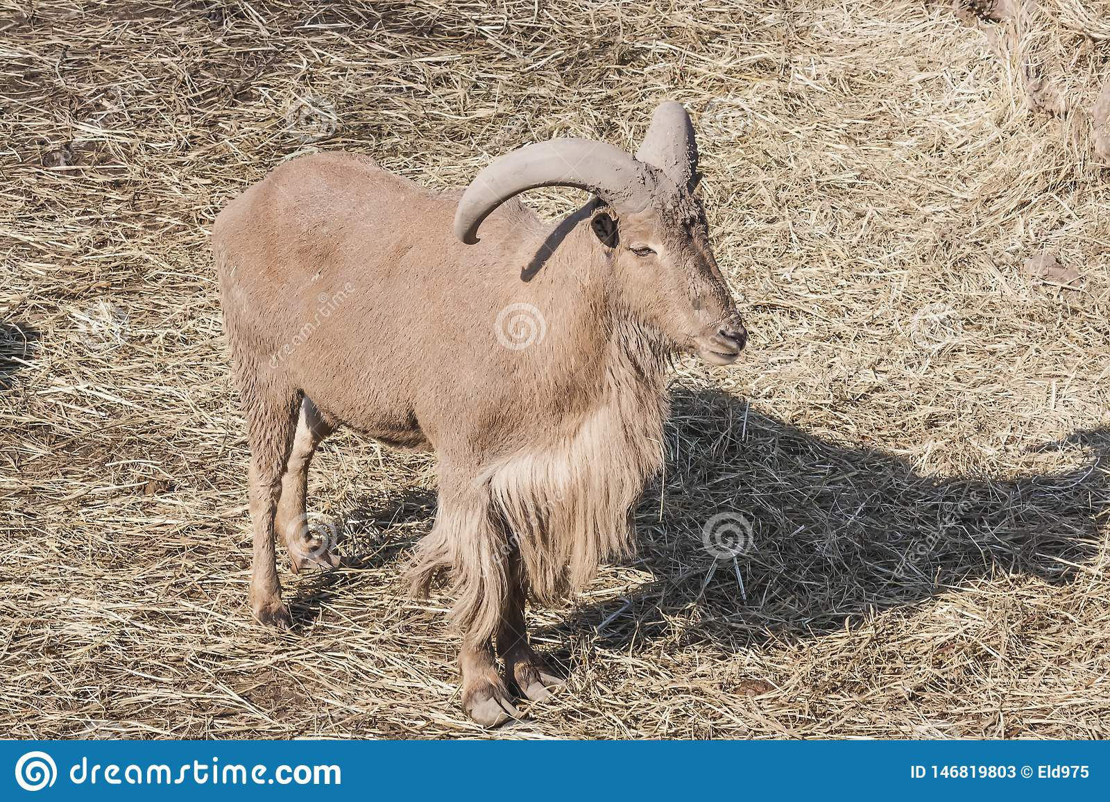 Cabra de montaña grande en el parque zoológico de la ciudad