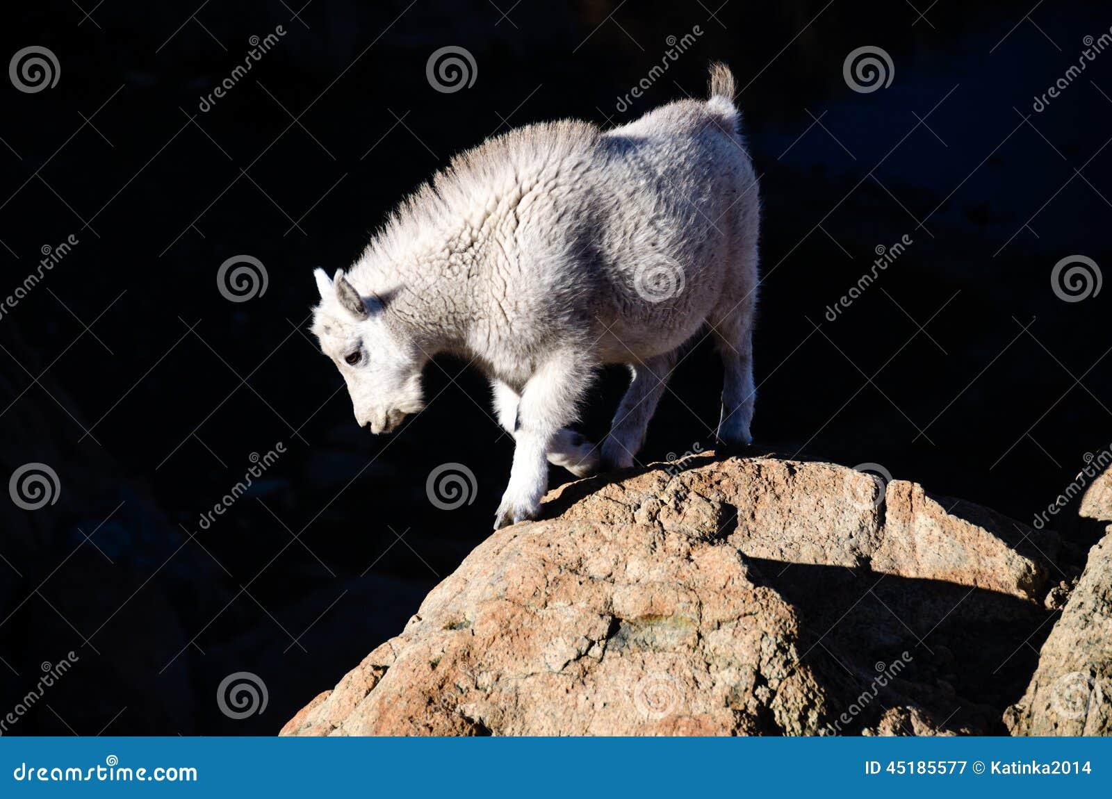 Cabra de montanha do bebê
