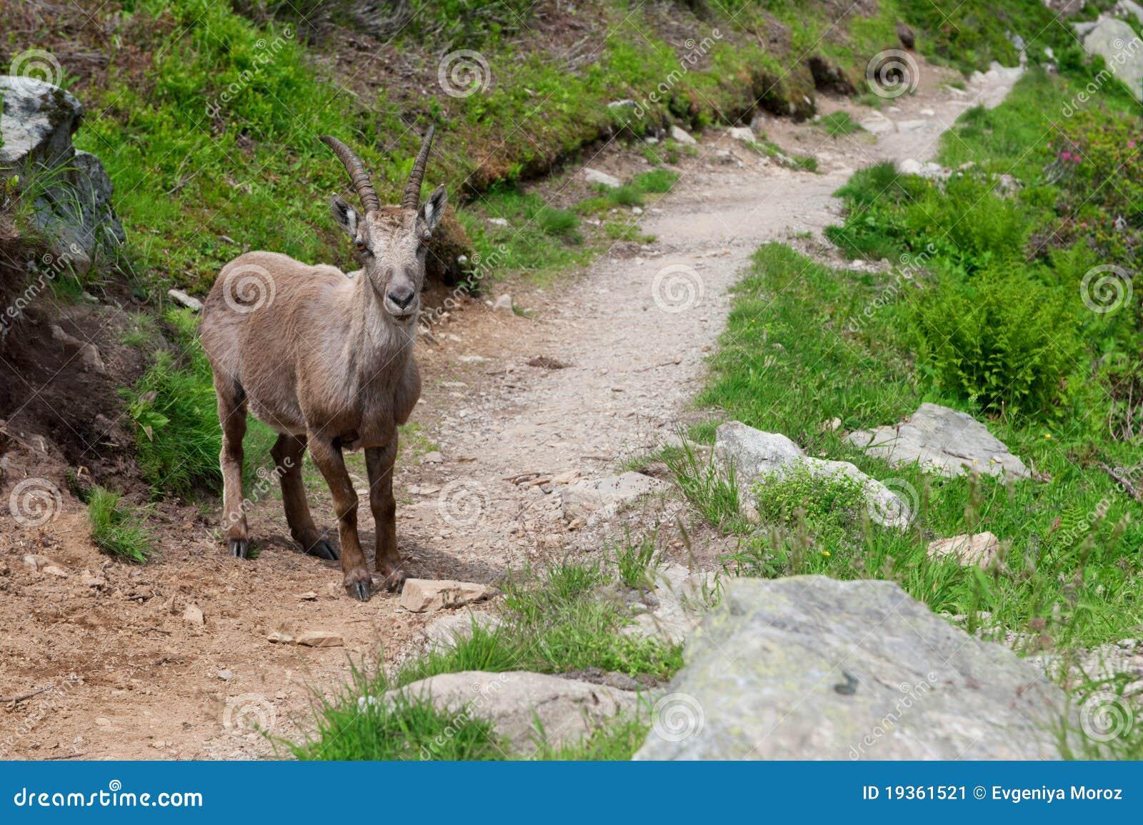 Cabra de montanha selvagem nos alpes.