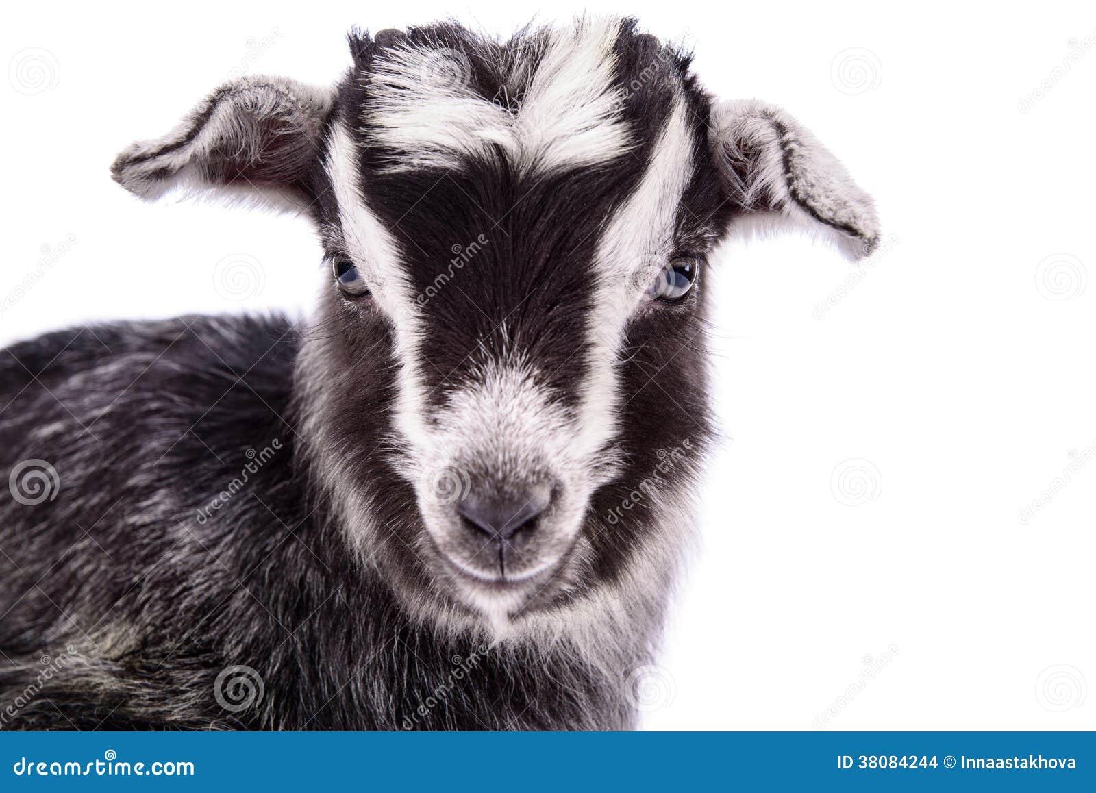 Cabra del animal del campo aislada
