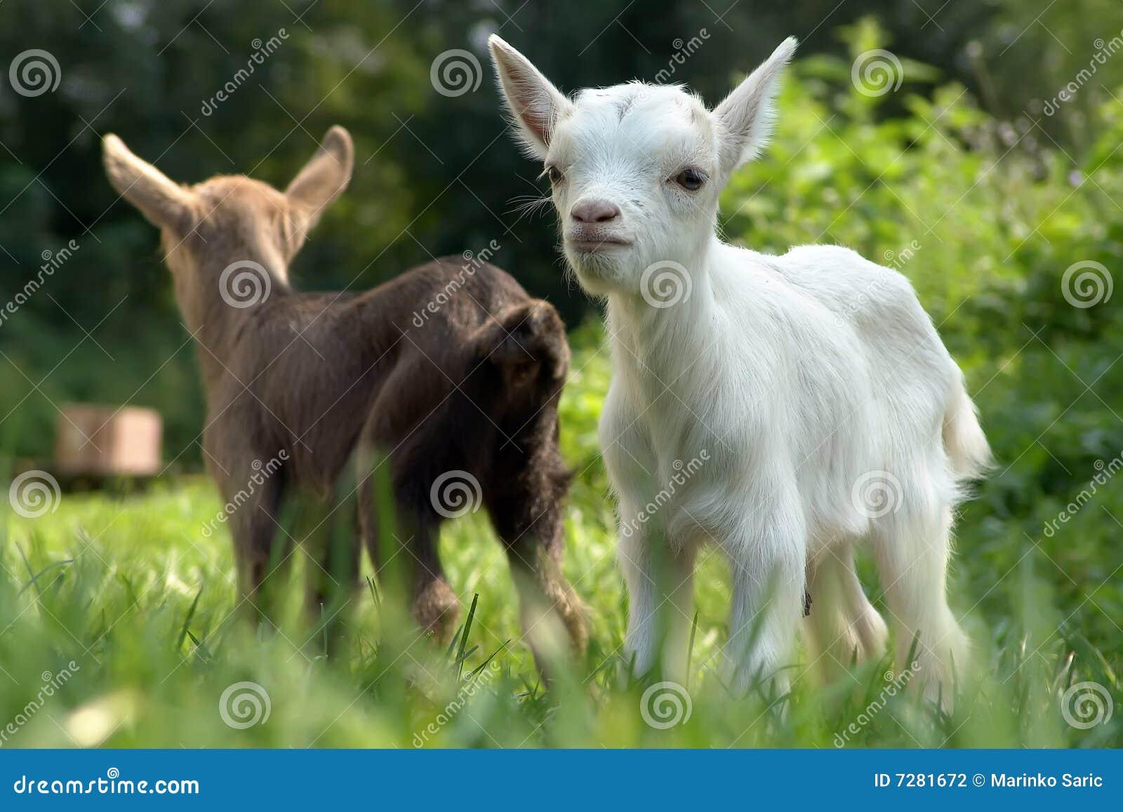 Cabra del bebé