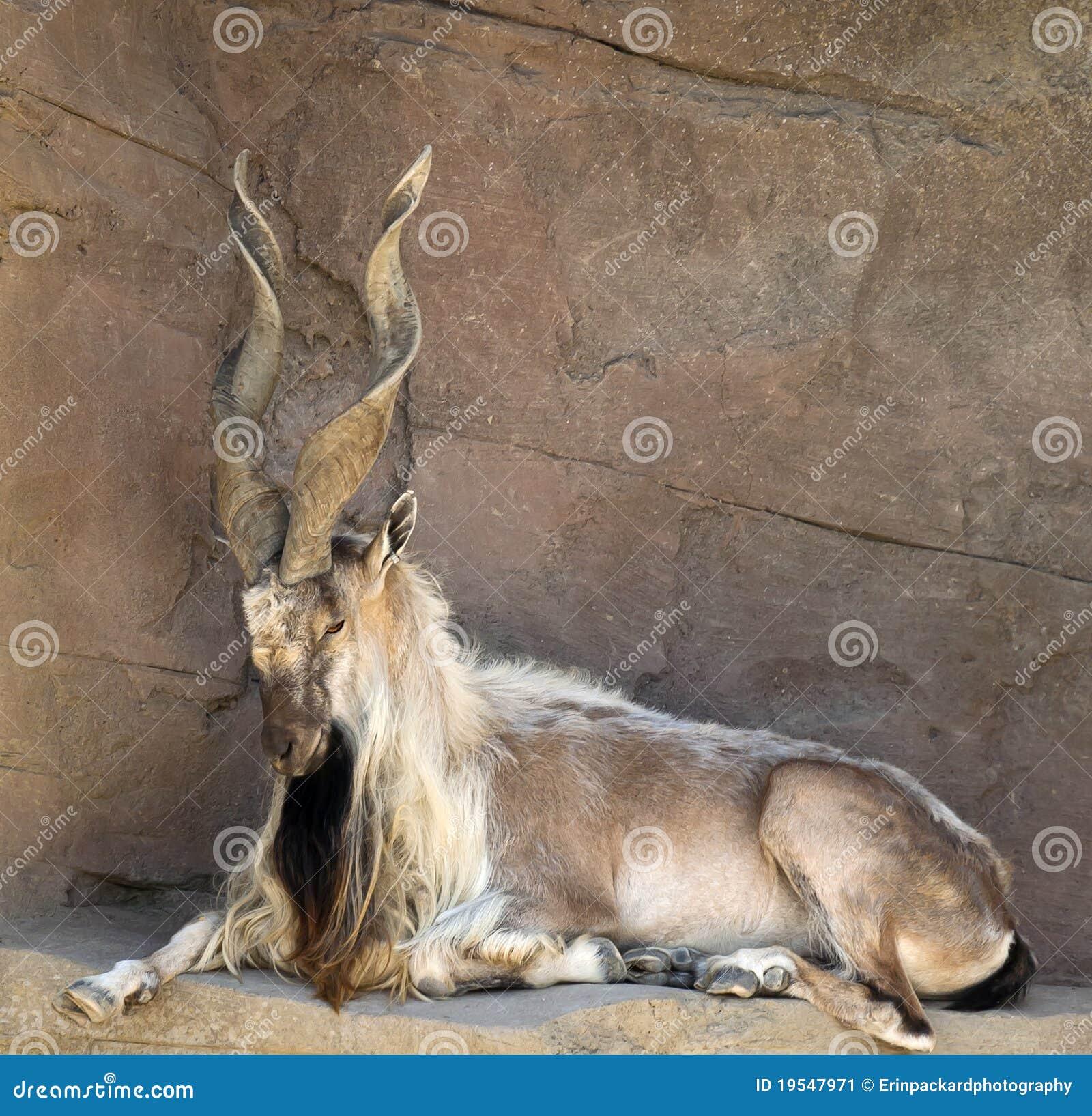 Cabra del Markhor con los claxones torcidos