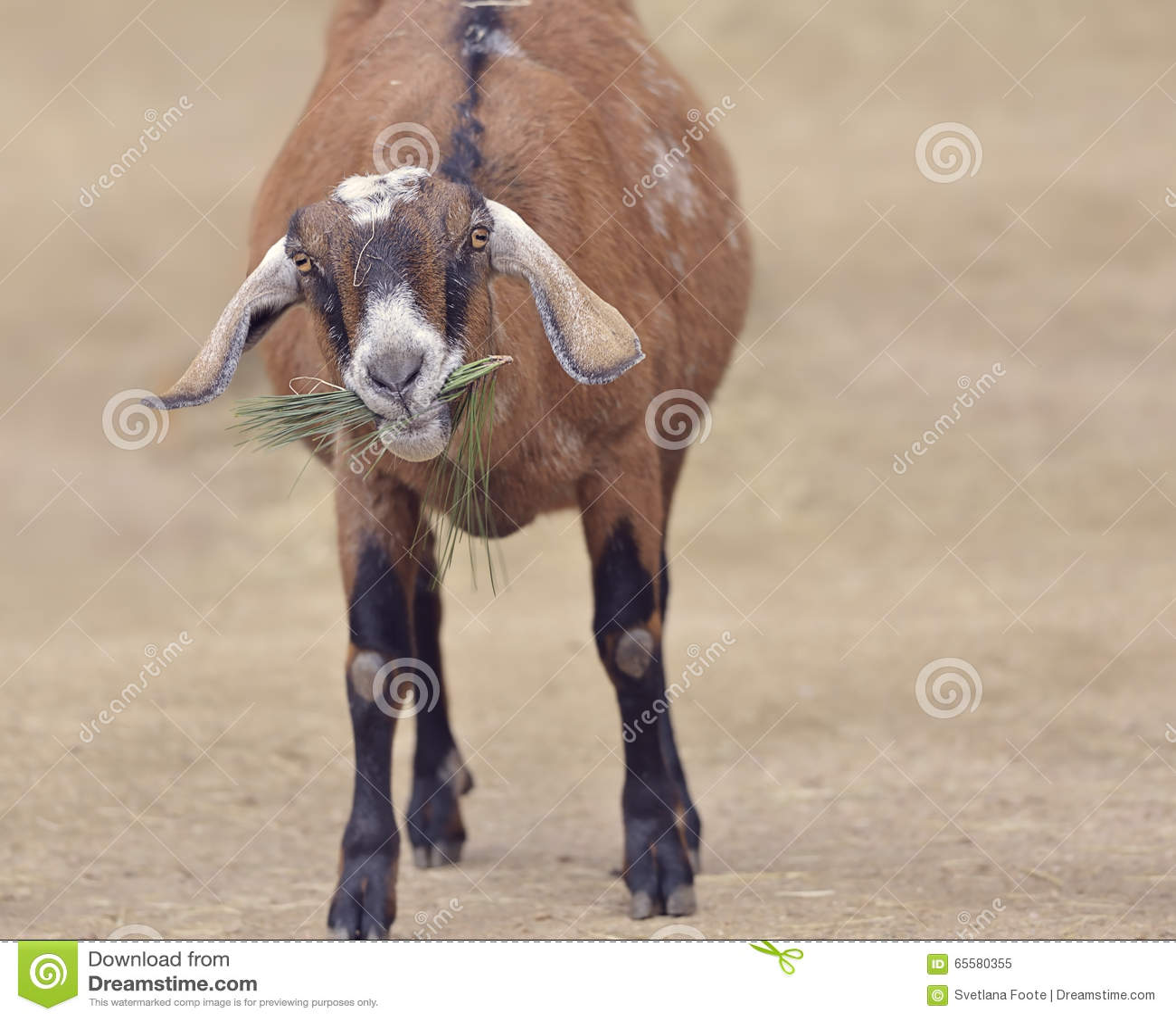 Cabra doméstica de Brown