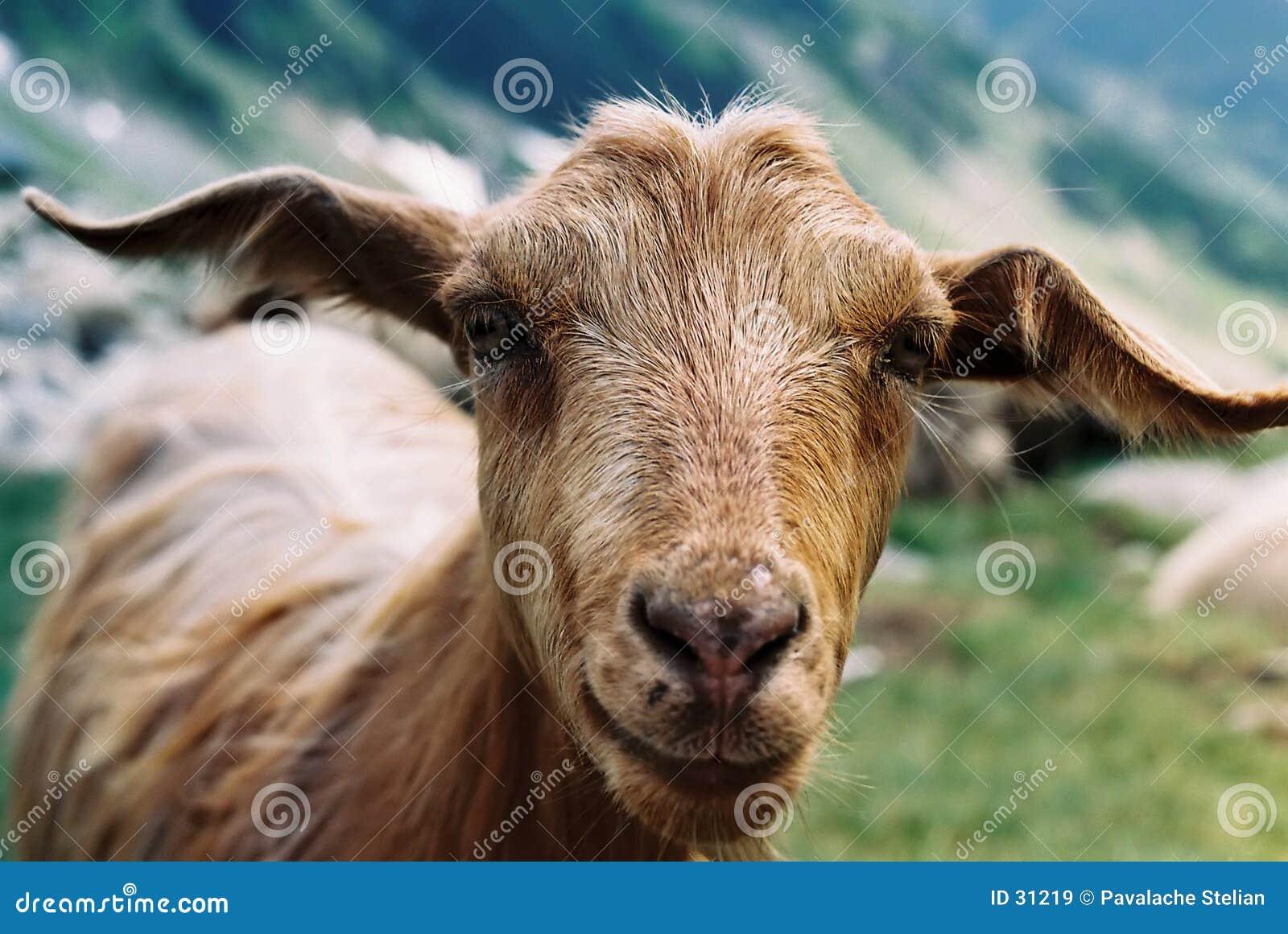 Download Cabra en Fagaras imagen de archivo. Imagen de rural, montañas - 31219