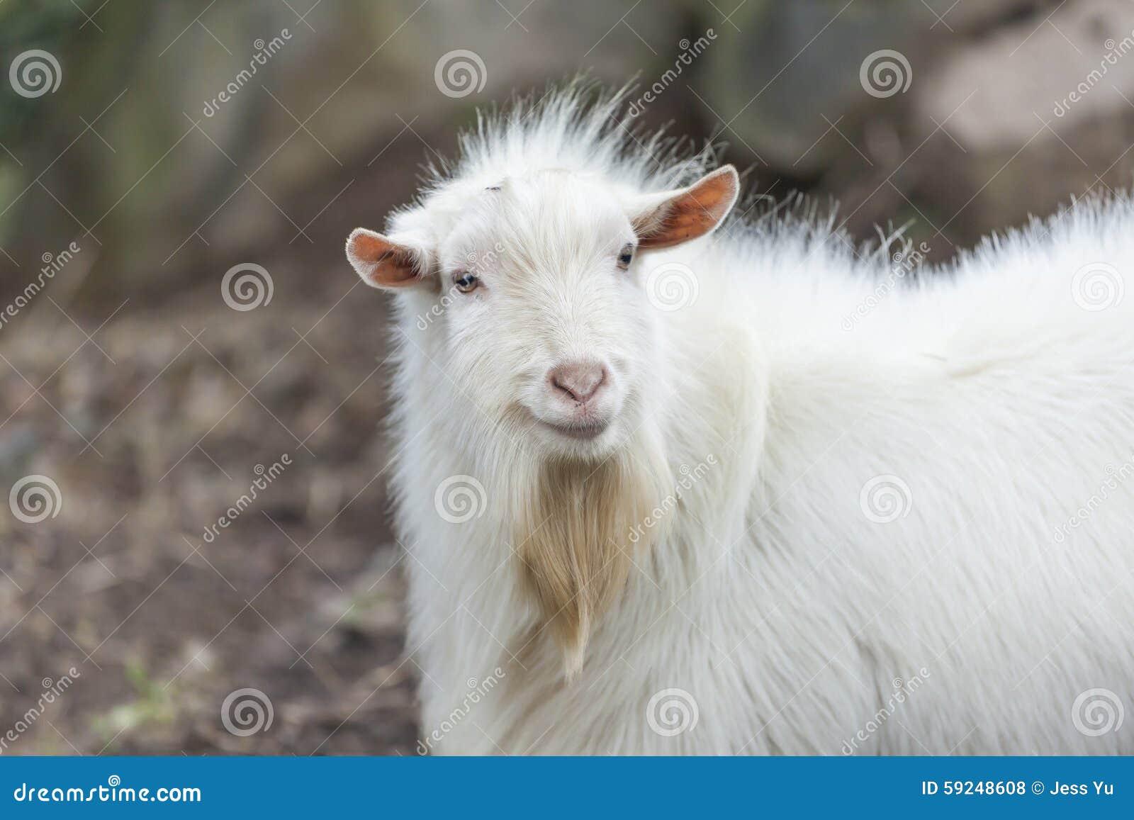 Cabra en granja
